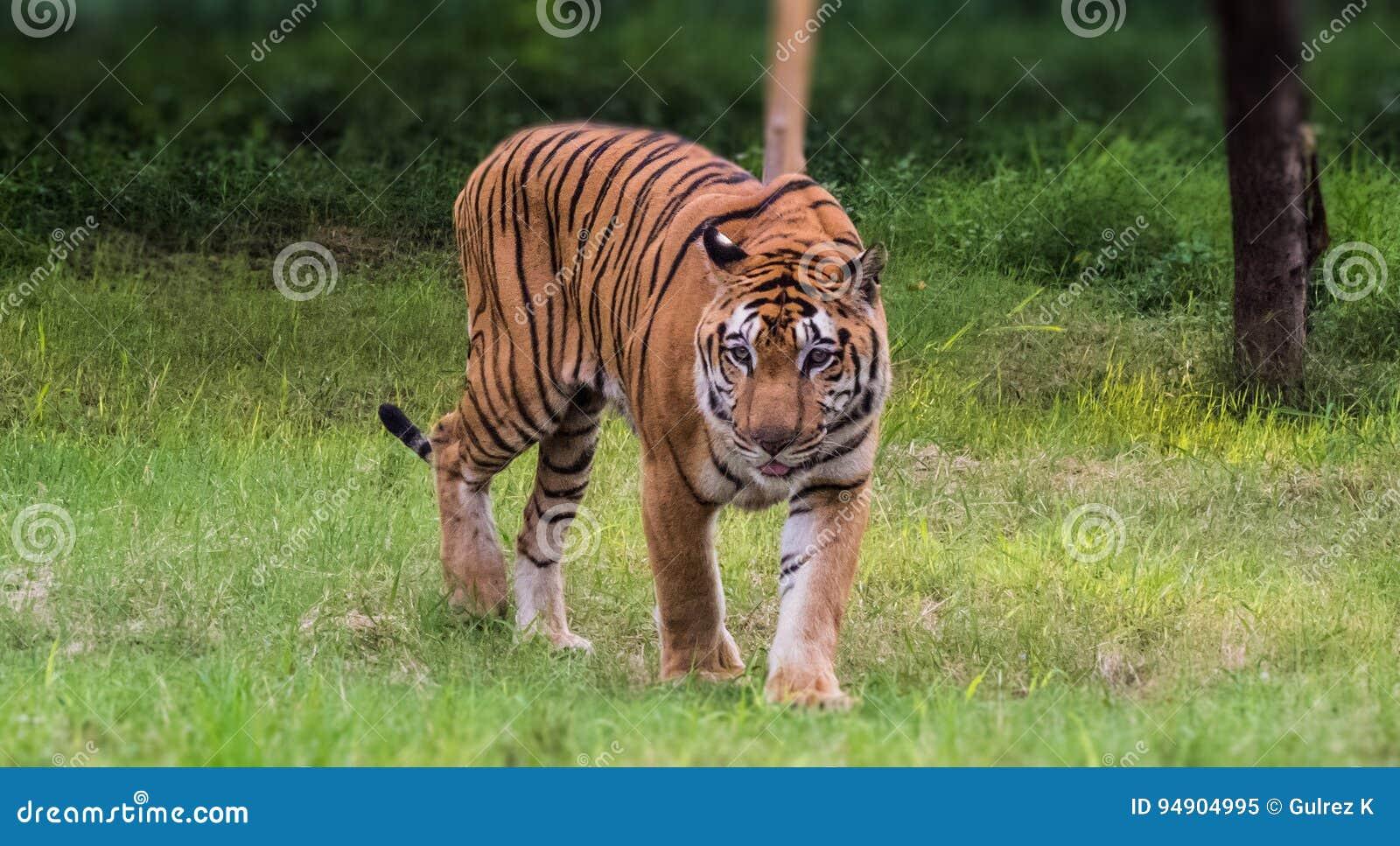 De koninklijke tijger die van Bengalen met trots in bos lopen