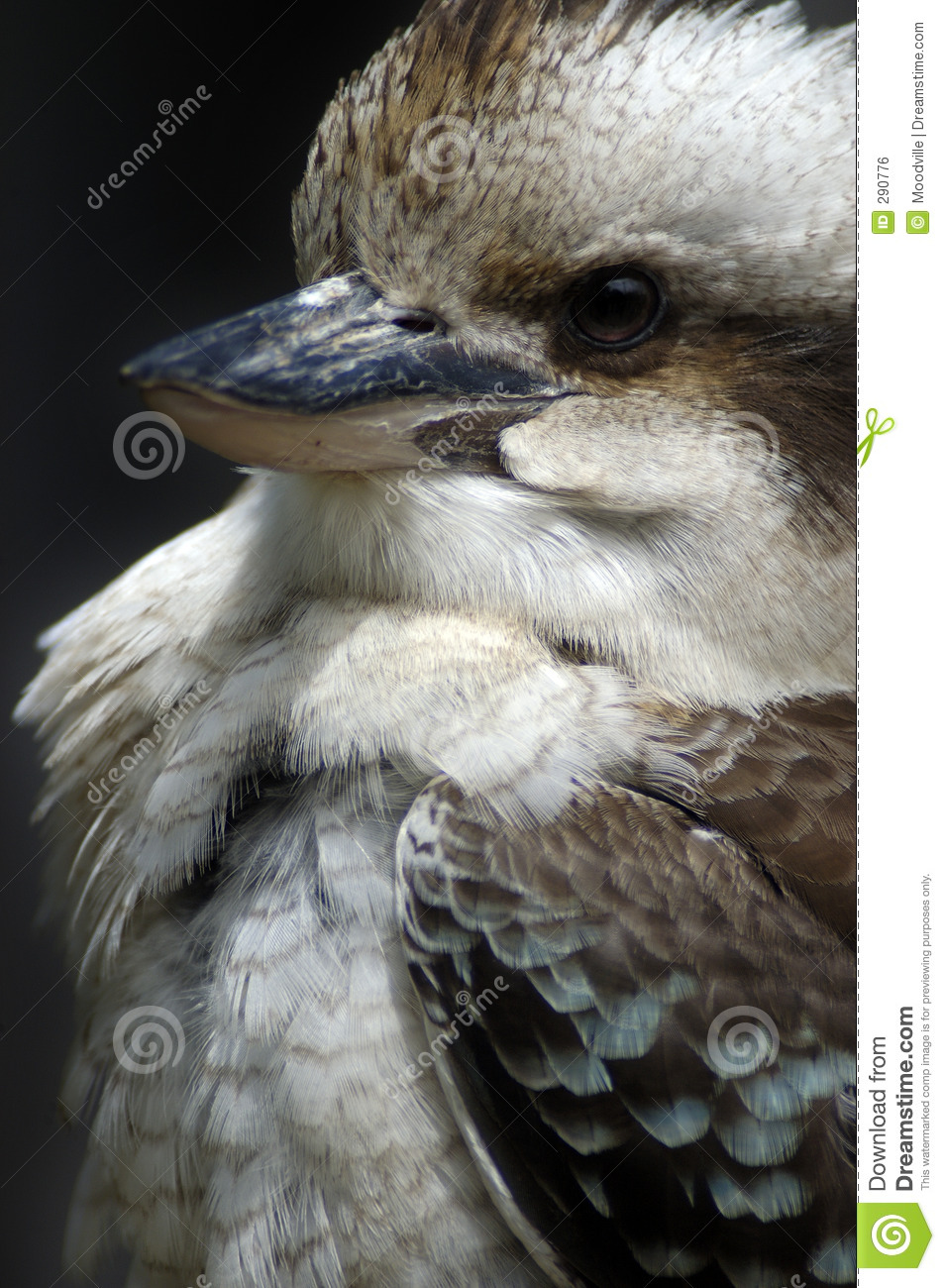 De Kookaburra van de close-up