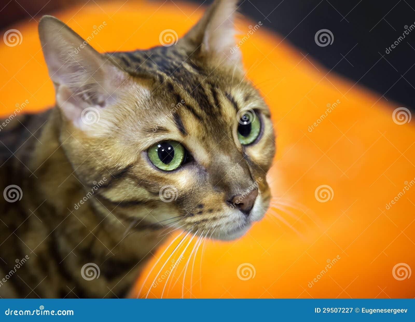 De kortharige binnenlandse kat van Bengalen