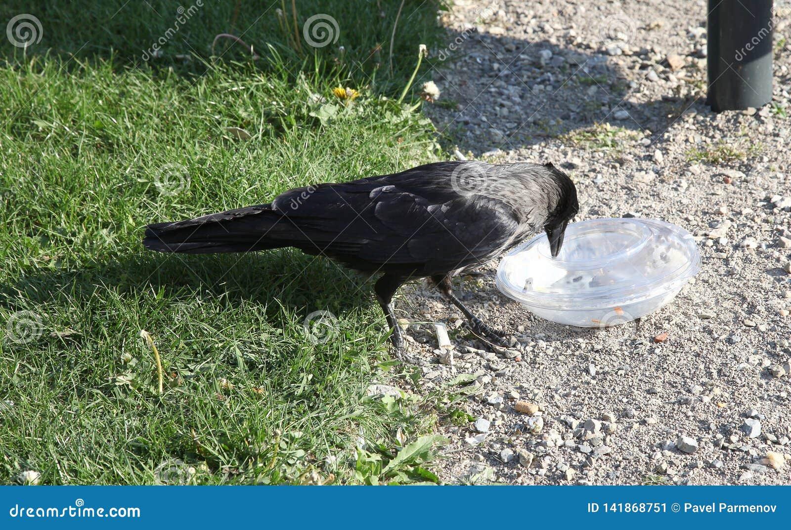 De kraai trekt voedsel uit plastic container