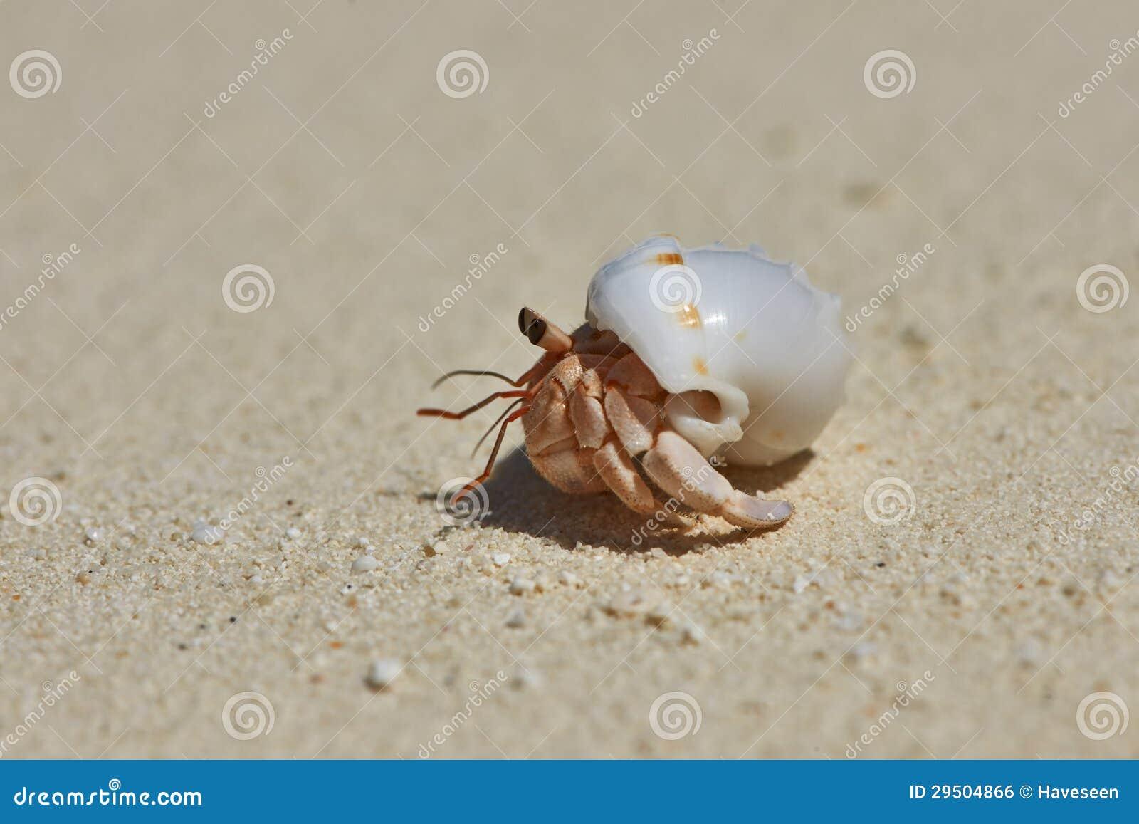 De Krab van de kluizenaar op een strand