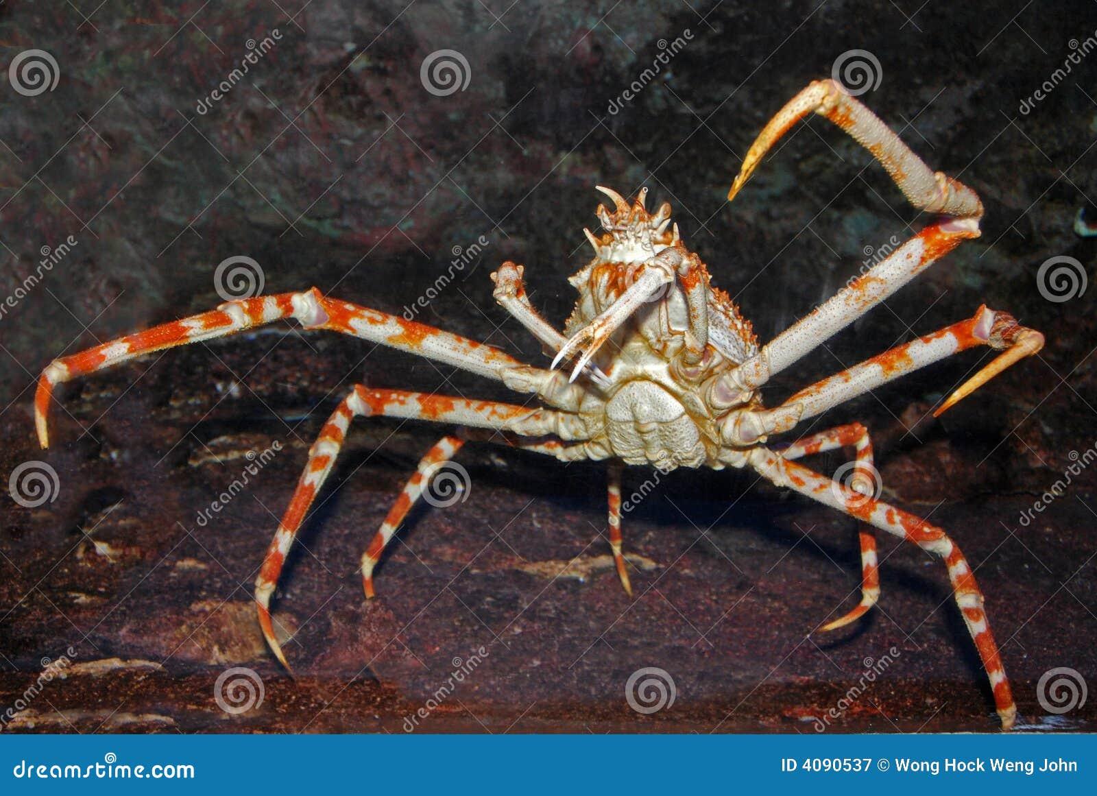 De krab van de spin binnen het aquarium