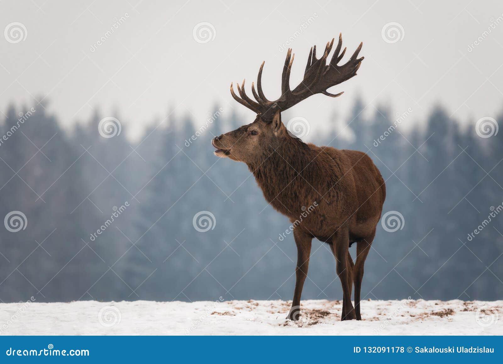 De krachtige Volwassen Edele Herten Cervus Elaphus met Grote Hoornen, prachtig draaiden Hoofd Europees het Wildlandschap met Hert