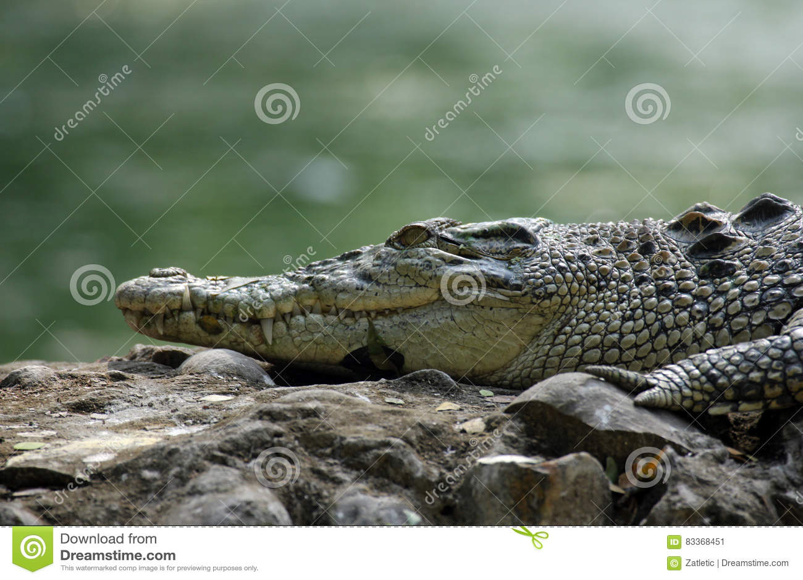 De krokodil van het zoutwater