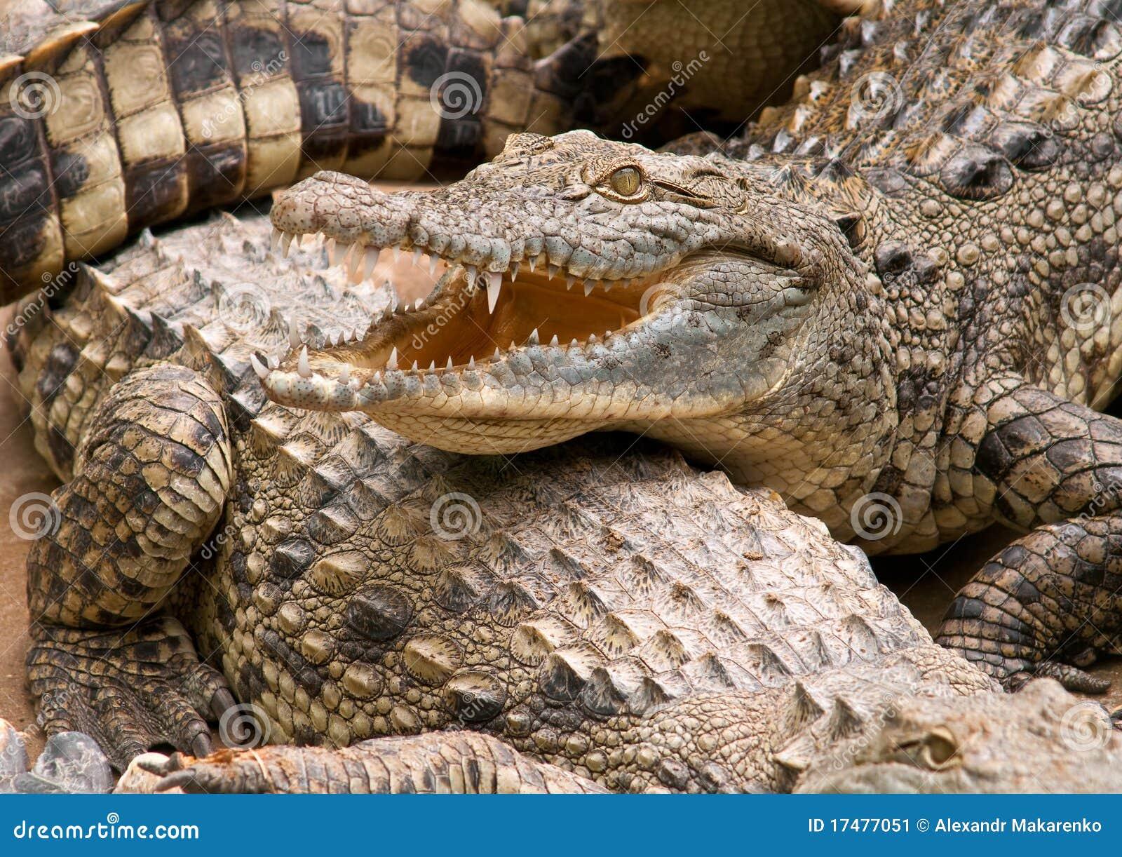 De krokodil van Nijl.