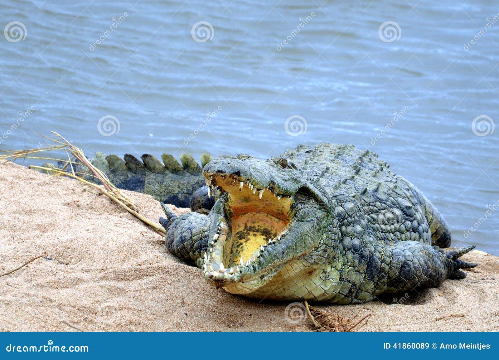 De krokodil van Nijl (niloticus Crocodylus)