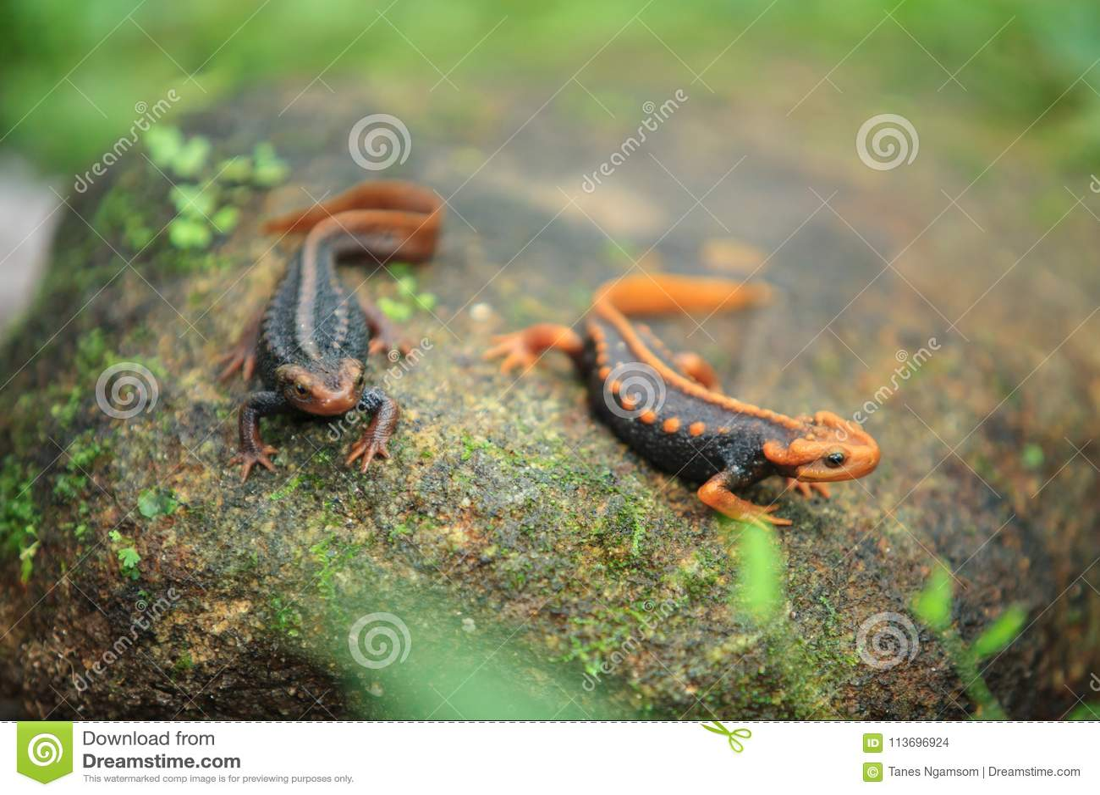 De krokodilsalamander is gevonden op Doi Inthanon, hig