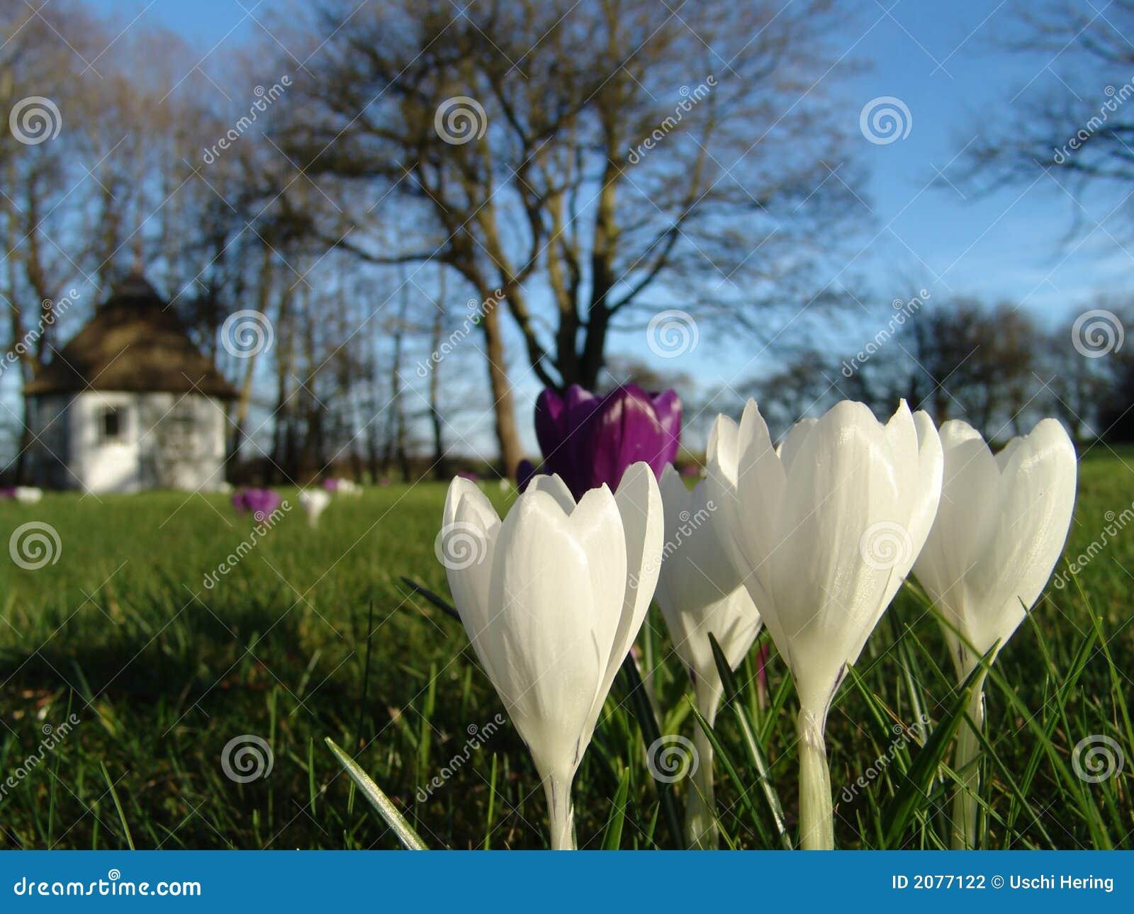 De krokus van de lente