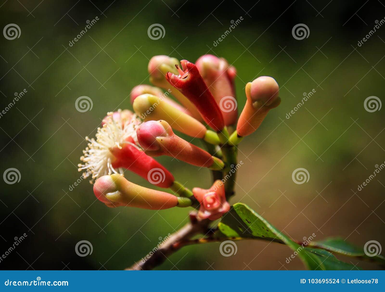De kruidnagels bloeien Knoppen, St Mary ` s Eiland, Analanjirofo-Gebied, Madagascar