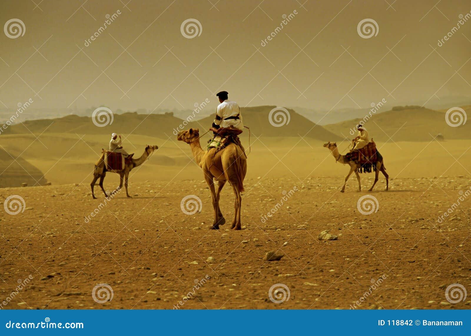 De kruising van de kameel