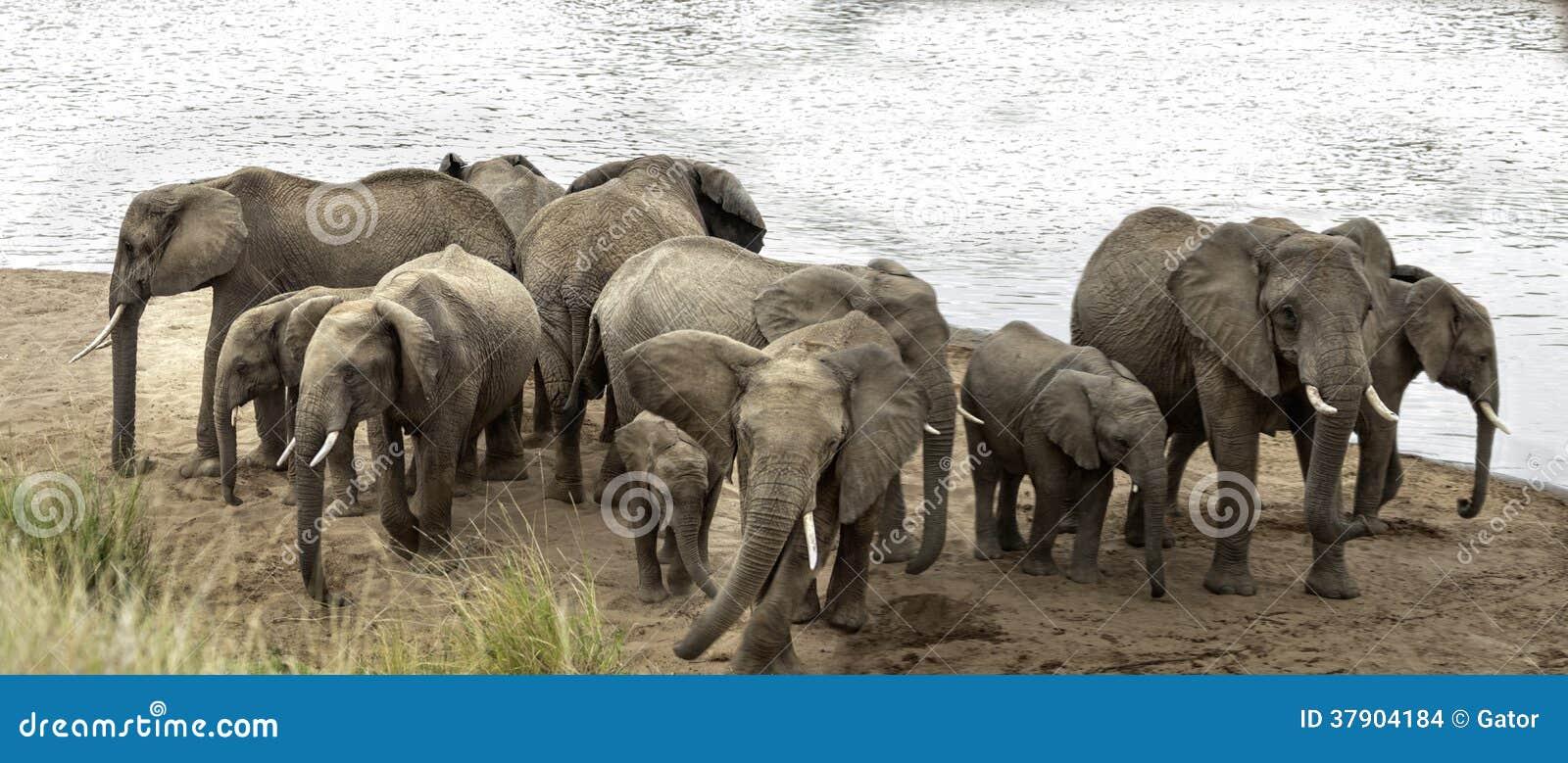 De kudde van Afrikaanse Bush-Olifanten toont verdedigingsgedrag aan