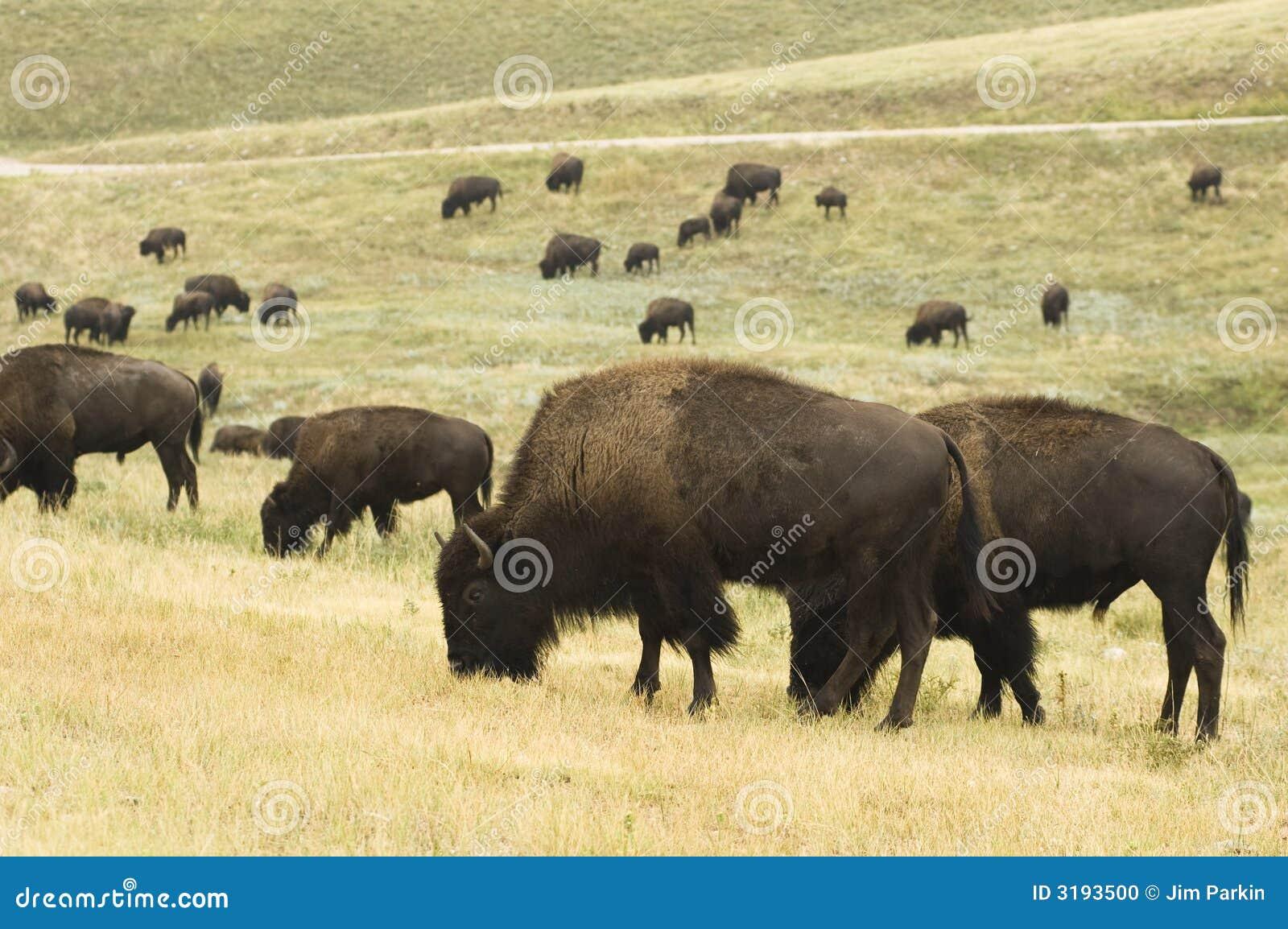 De Kudde van buffels