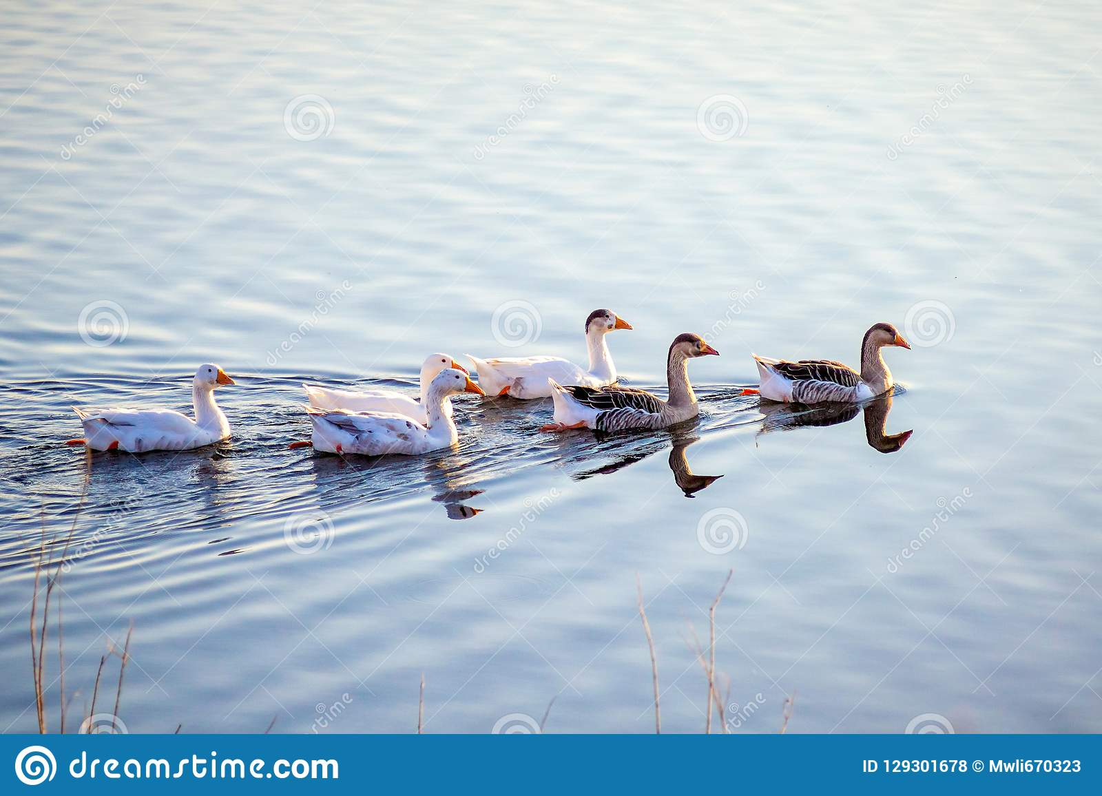 De kudde van ganzen drijft langs het blauwe water van river_