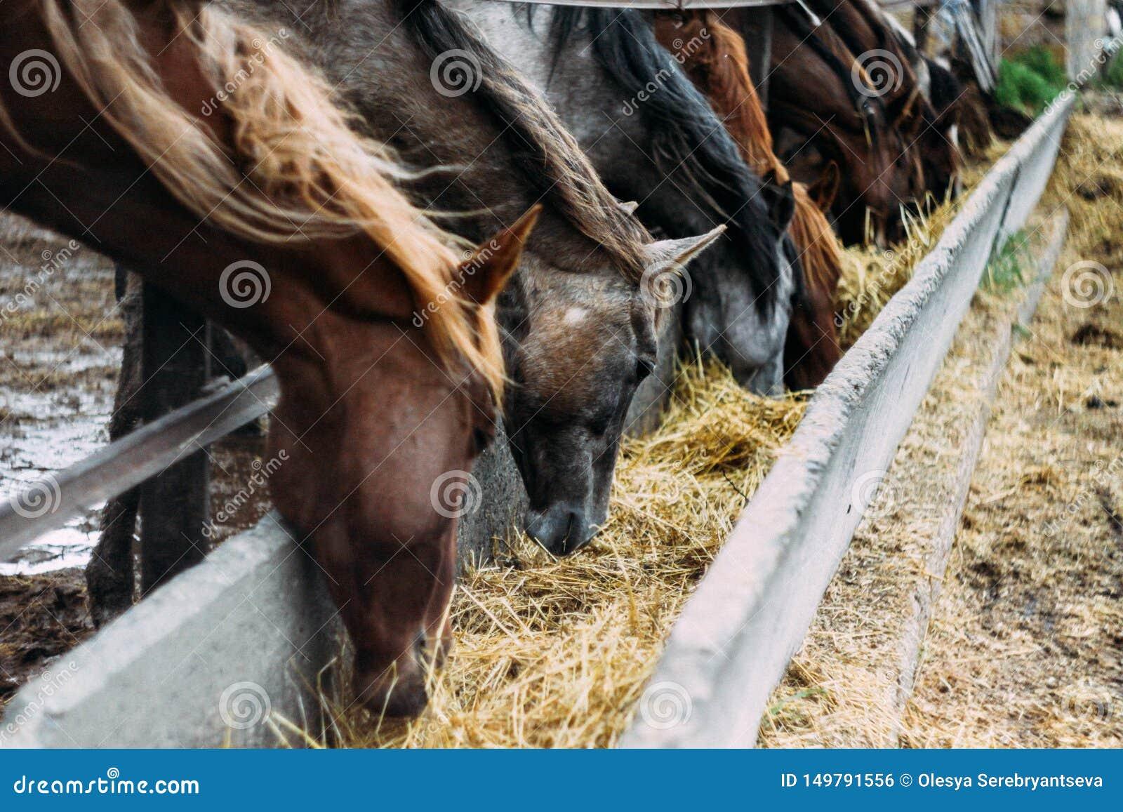 De kudde van paarden eet hooi Kudde van mooie paarden