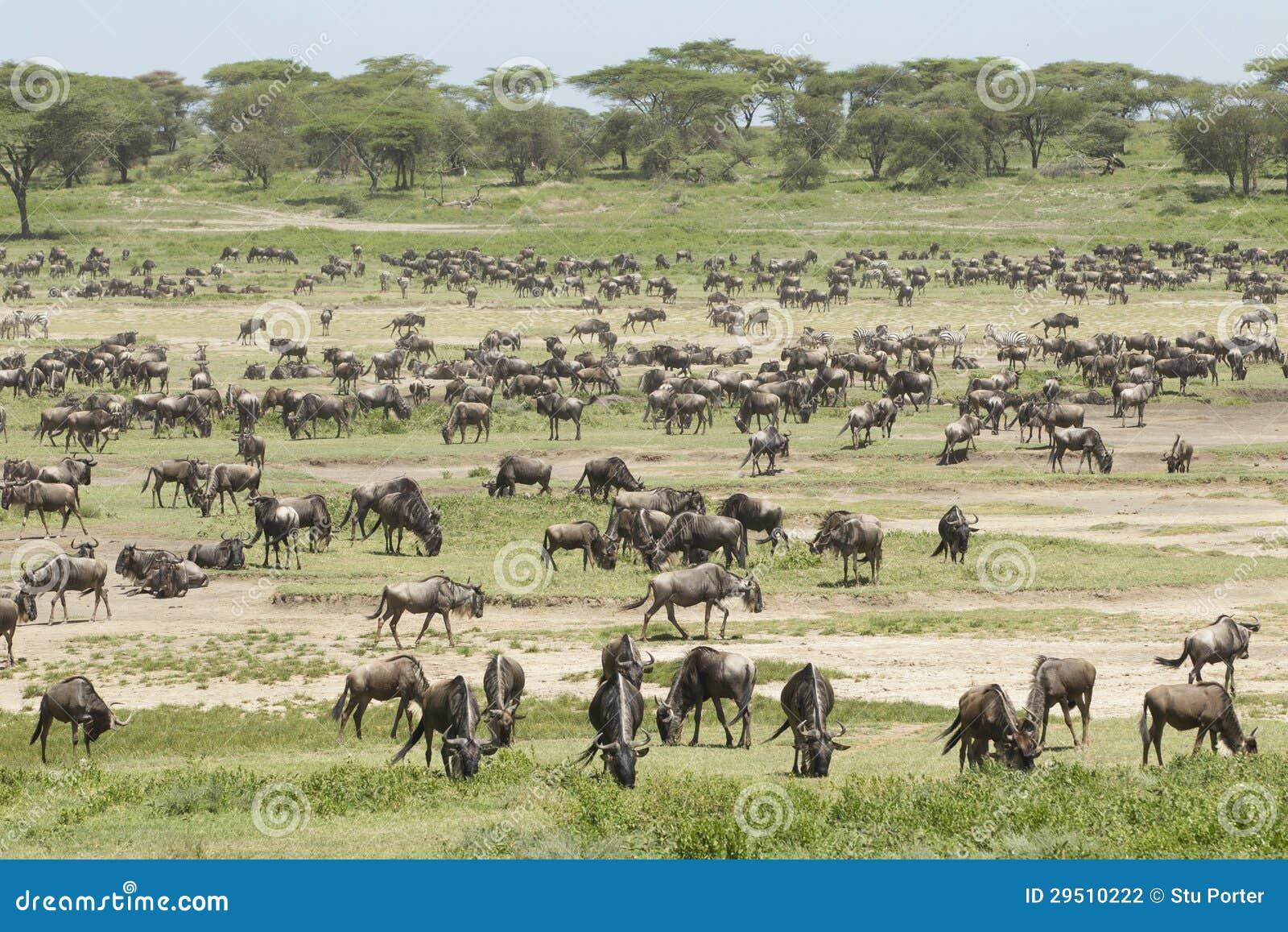 De kudden van de Migratie in het Ndutu gebied, Tanzania