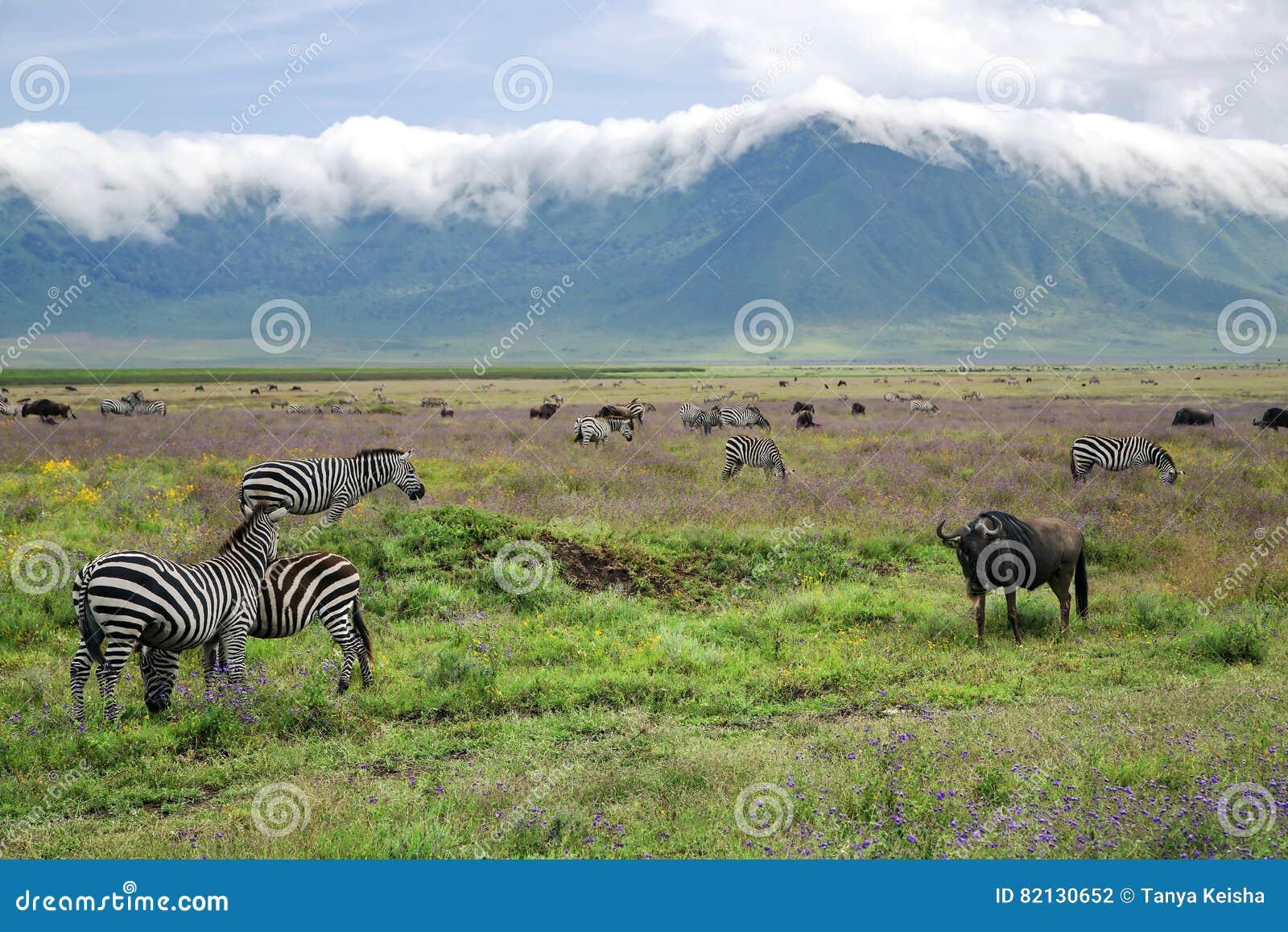 De kudden van zebras en blauwe wildebeests weiden in Ngorongoro-Krater
