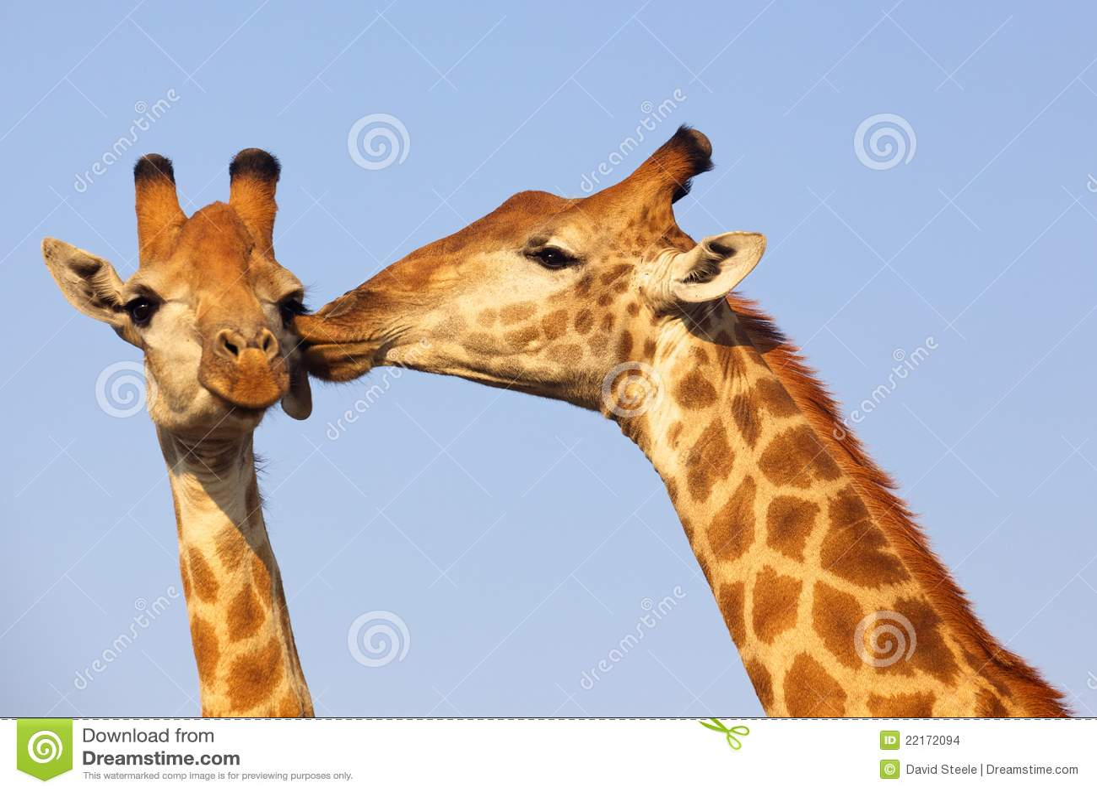 De Kus van de giraf
