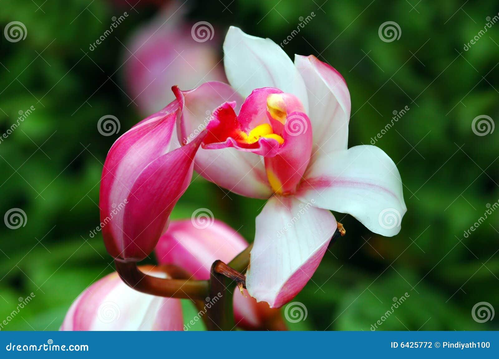 De Kus van de orchidee
