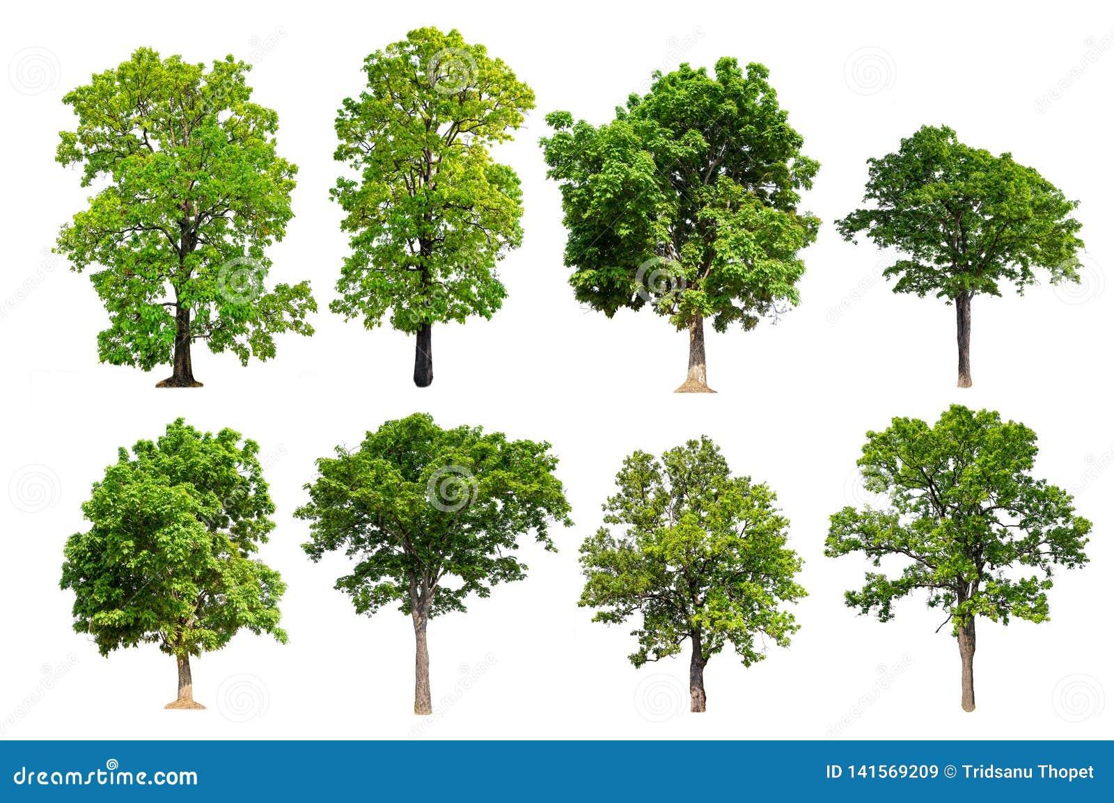 De kwaliteits grote groene boom van de inzamelingshoogte