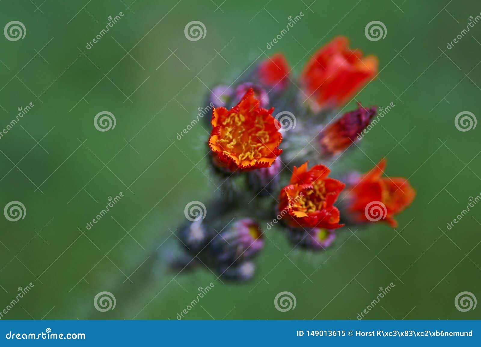 De lösa blommorna, orange hawkweed Hieraciumaurantiacum