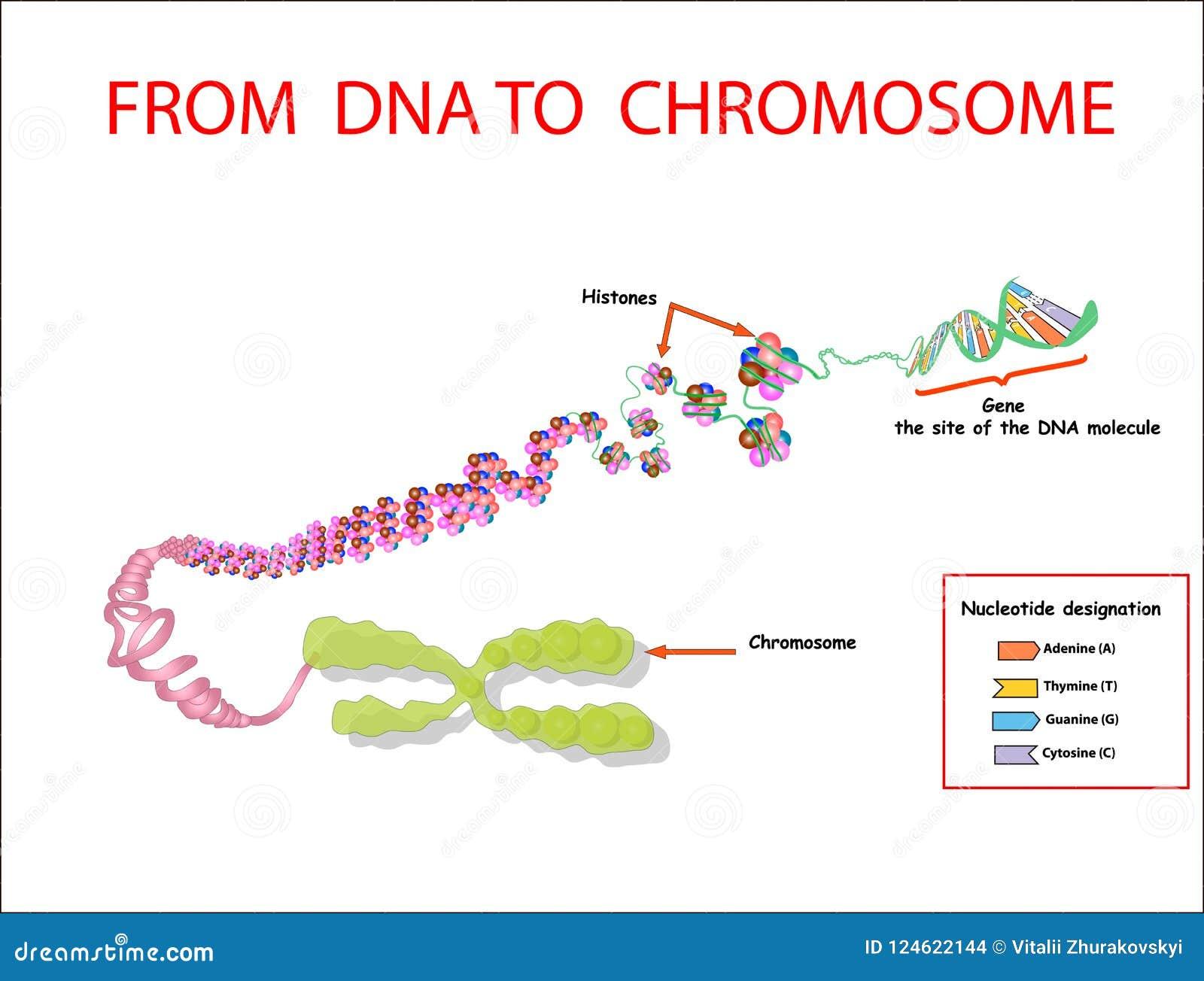 De l ADN au chromosome ordre de génome Telo simple est un ordre de répétition de l ADN bicaténaire situé aux extrémités du chromo