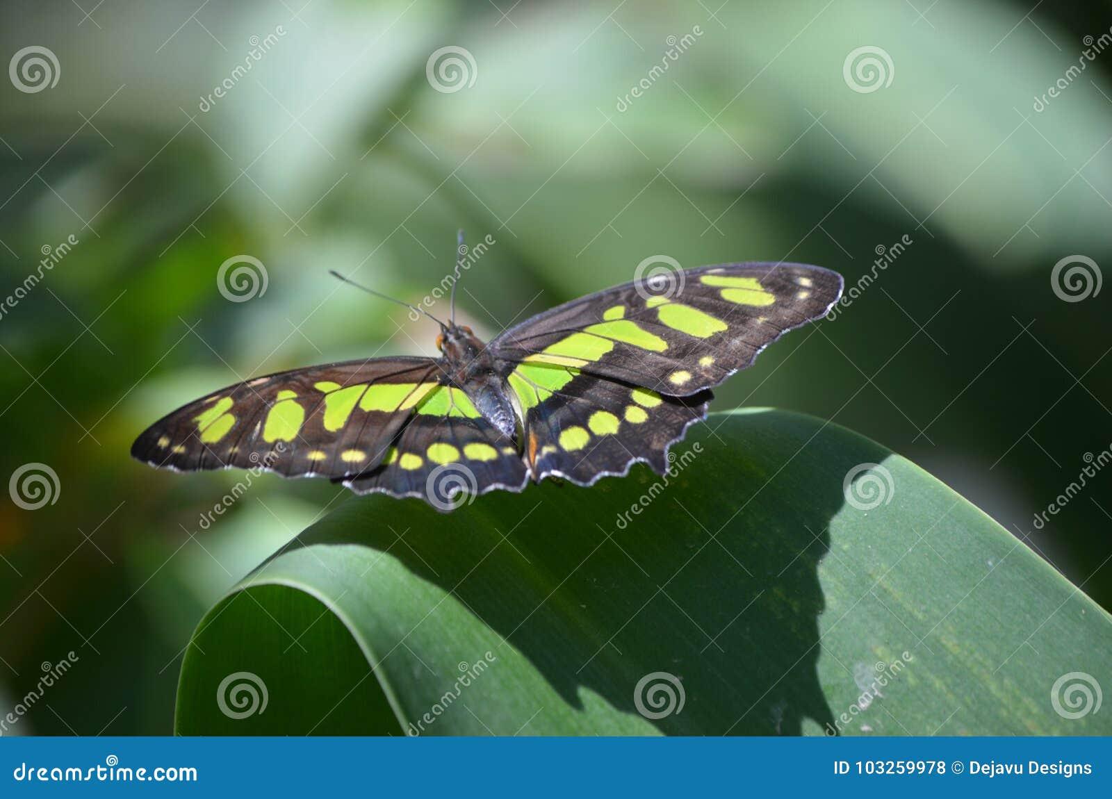 De la malaquita de la mariposa cierre negro y verde hermoso para arriba
