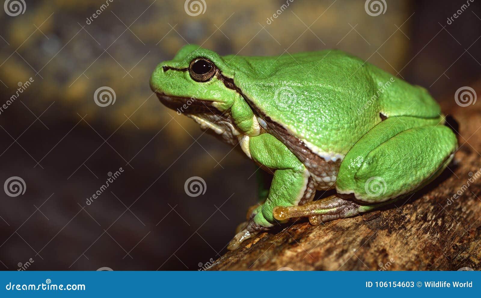 De la rana arbórea del Hyla del arborea arborea verde europeo del Rana antes