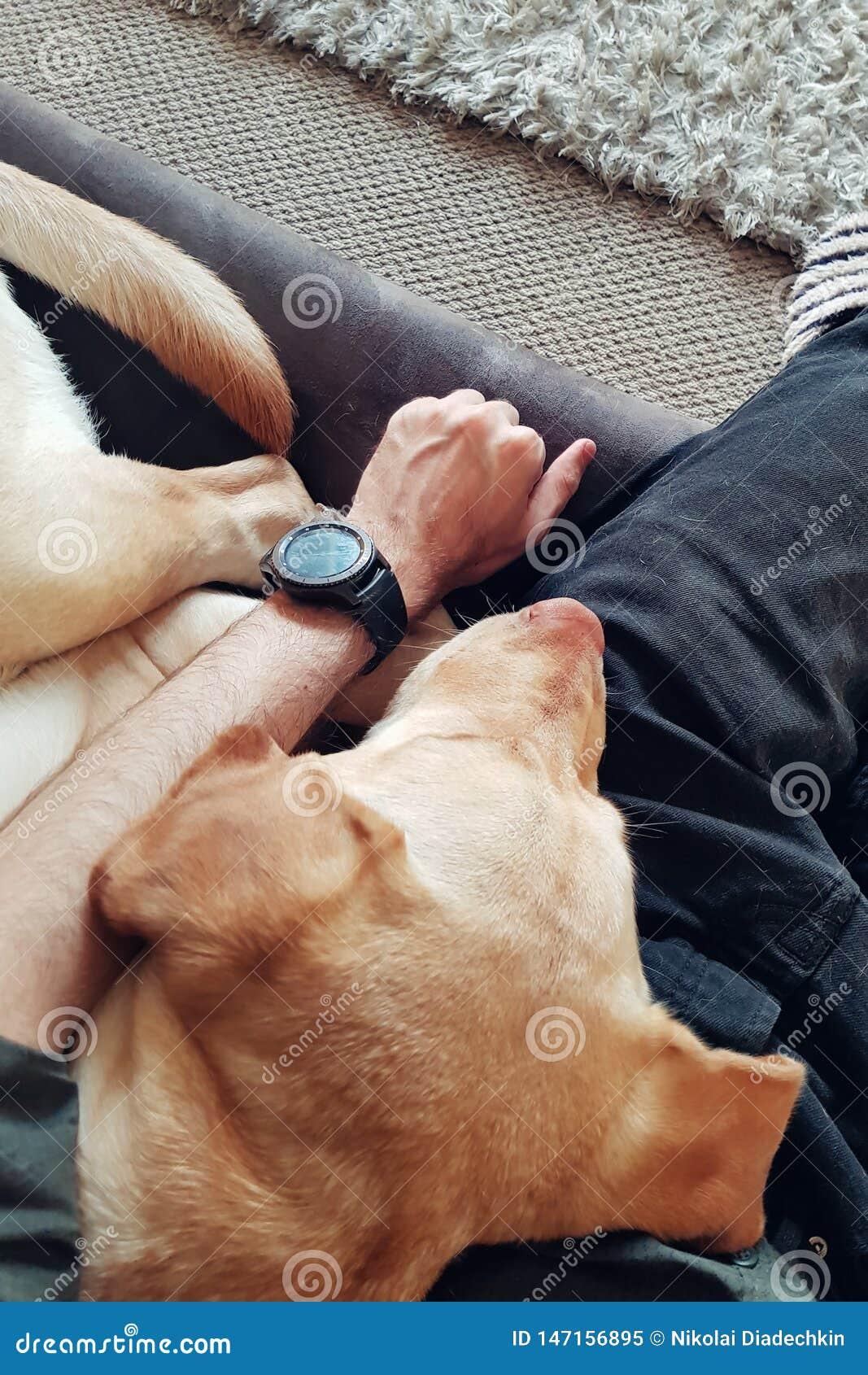 De labrador slaapt op de mens