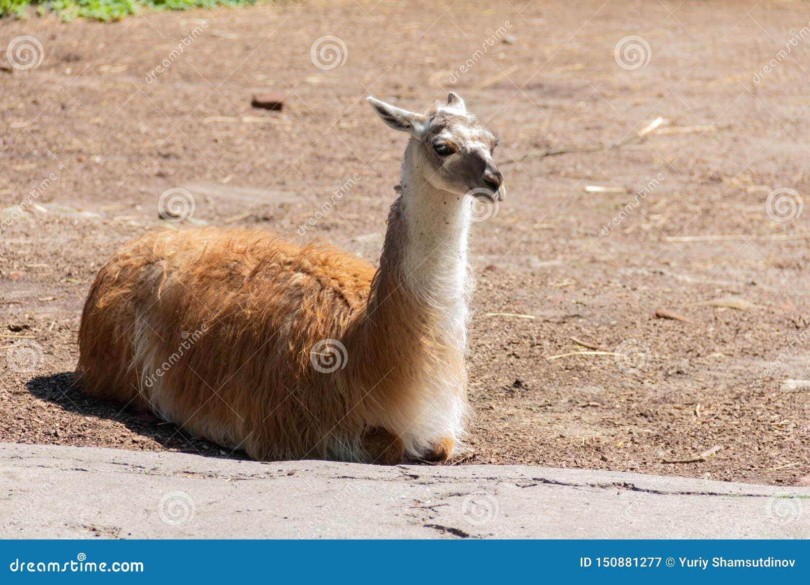 De lama ligt op het gazon en geniet van de warme zonneschijn