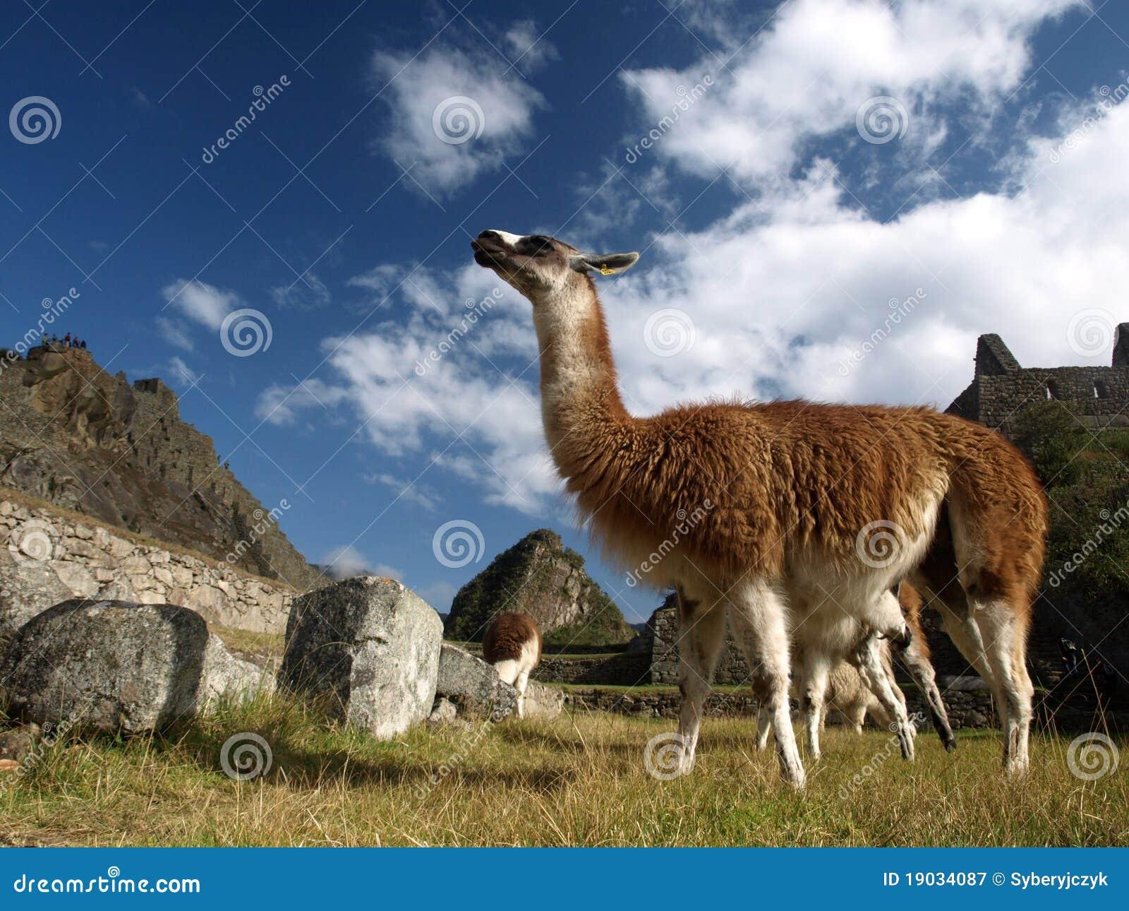 De lama van Peru