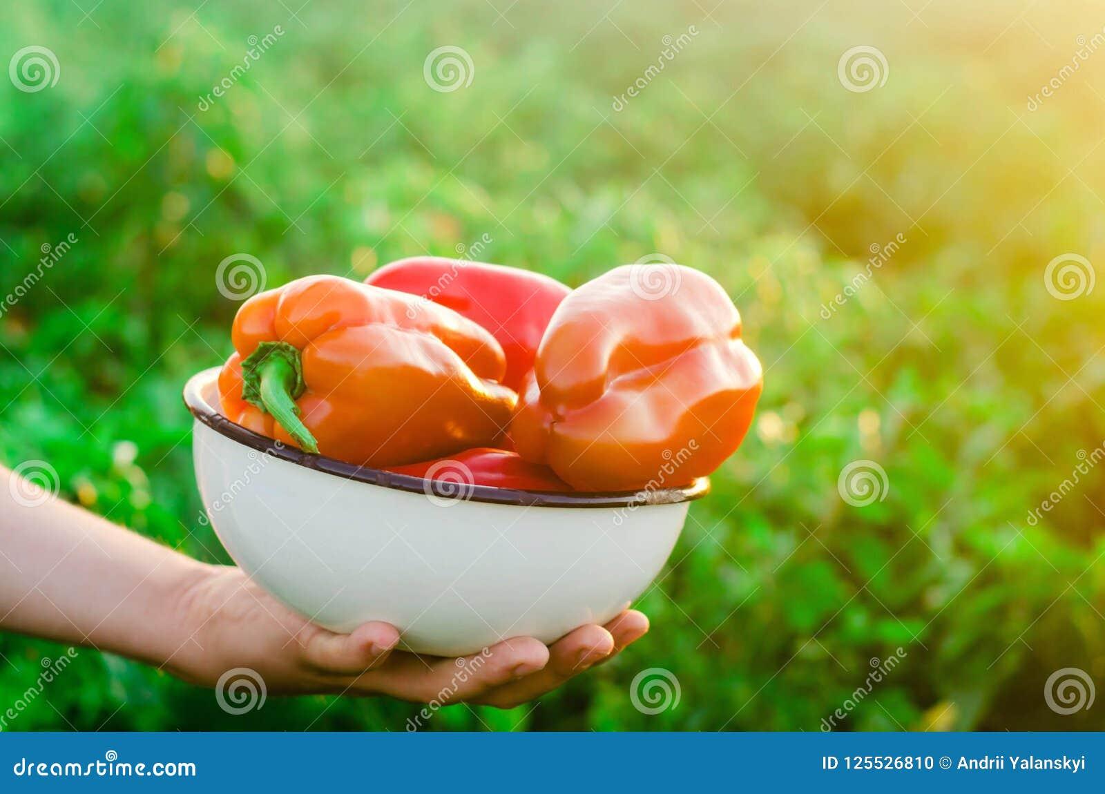 De landbouwer oogst de peper op het gebied Verse Gezonde Organische Groenten Landbouw