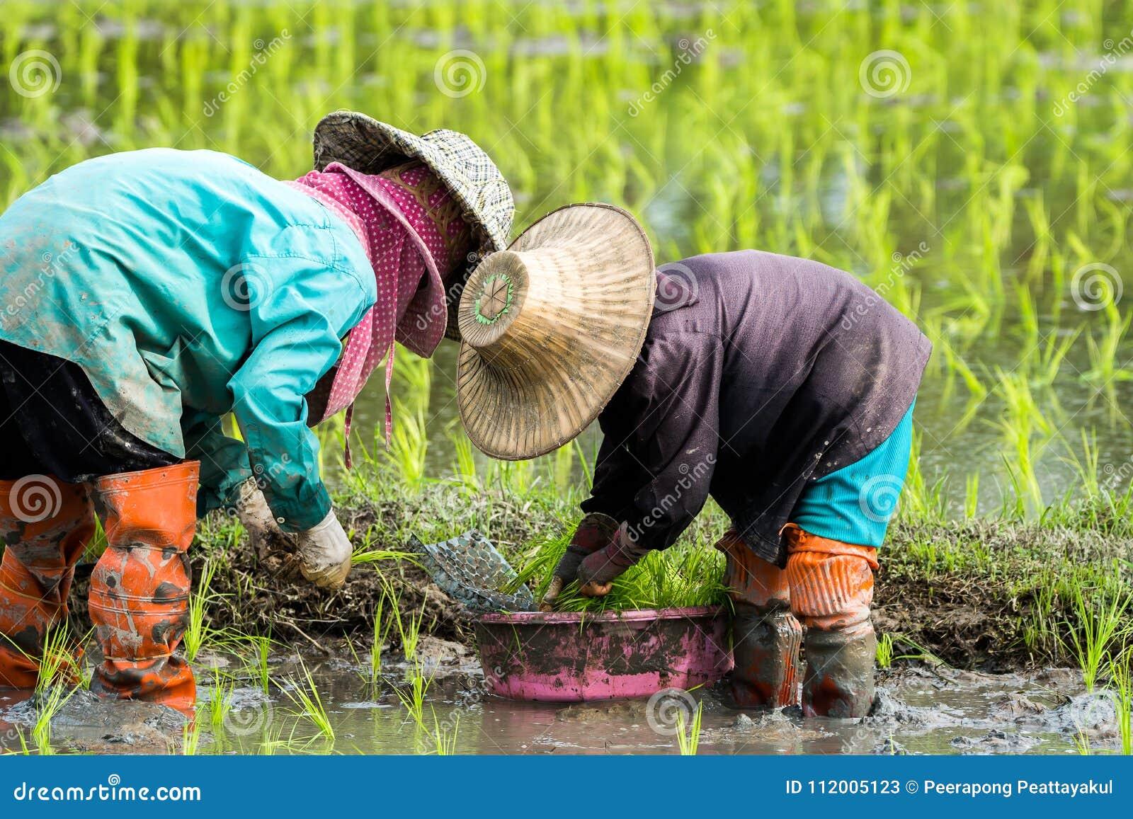 De landbouwers planten rijst in het landbouwbedrijf