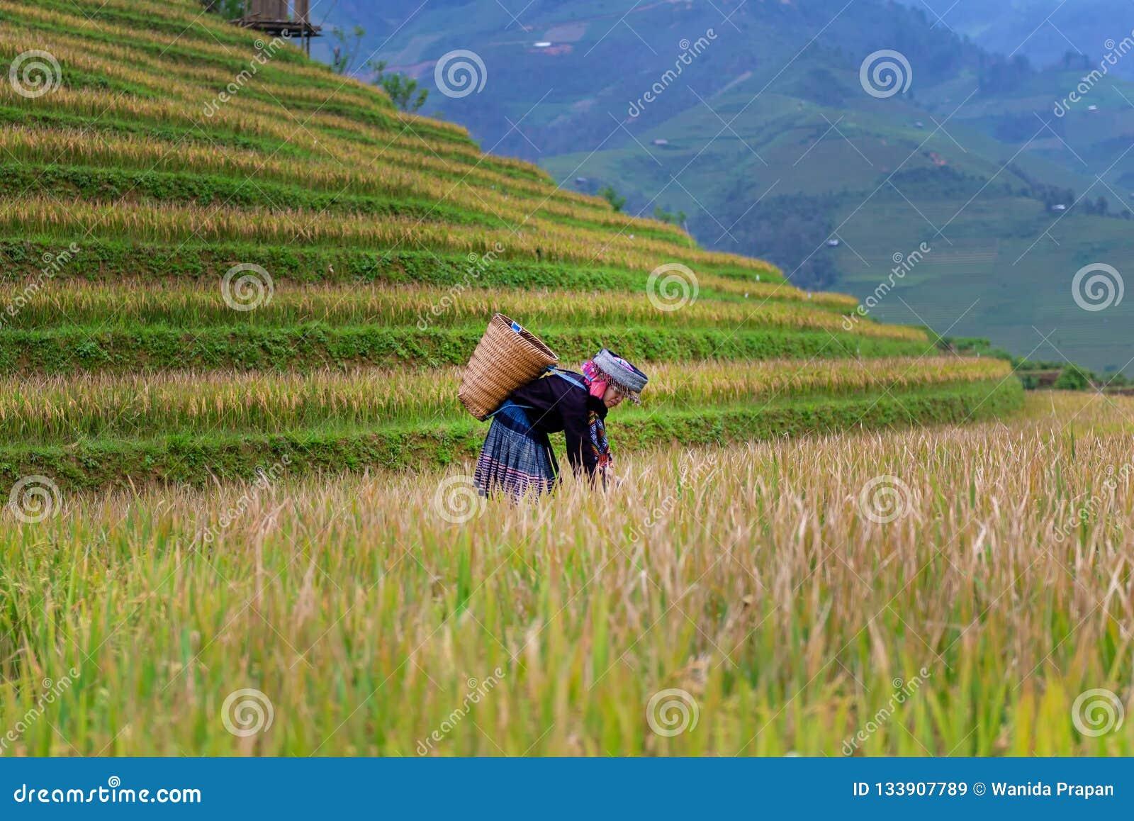 De landbouwersvrouwen oogsten de Industrie van de rijstlandbouw Terrasvormig padieveld in oogstseizoen met etnische minderheidvro