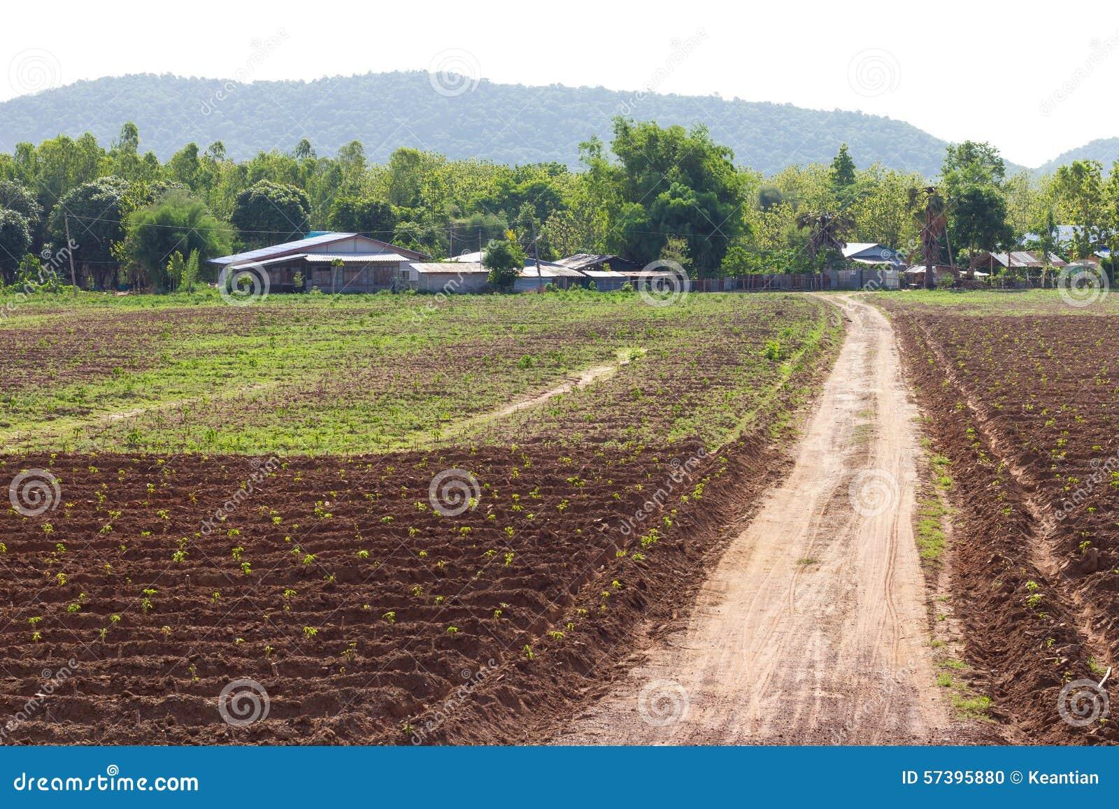 De landweggen van de maniokaanplanting