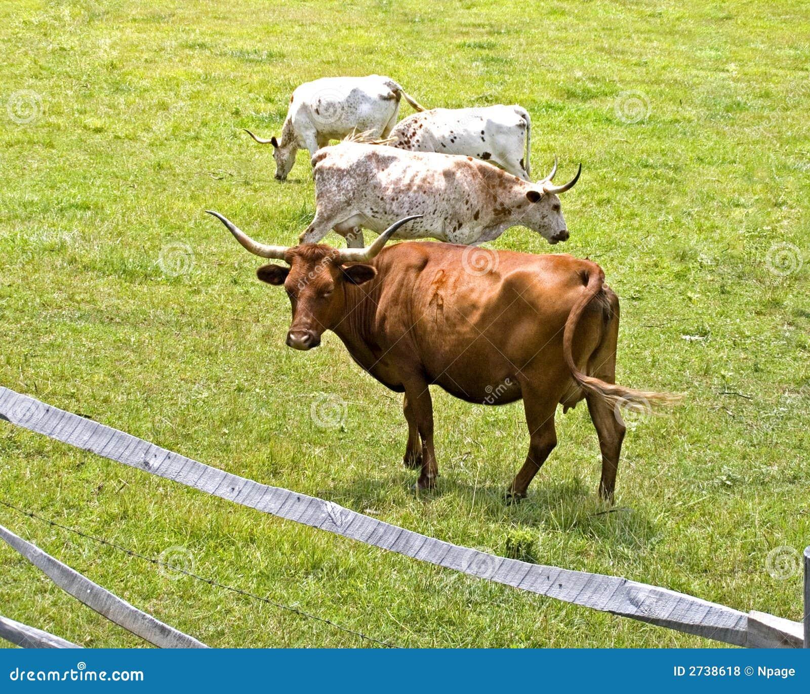 De lange Koeien van de Hoorn