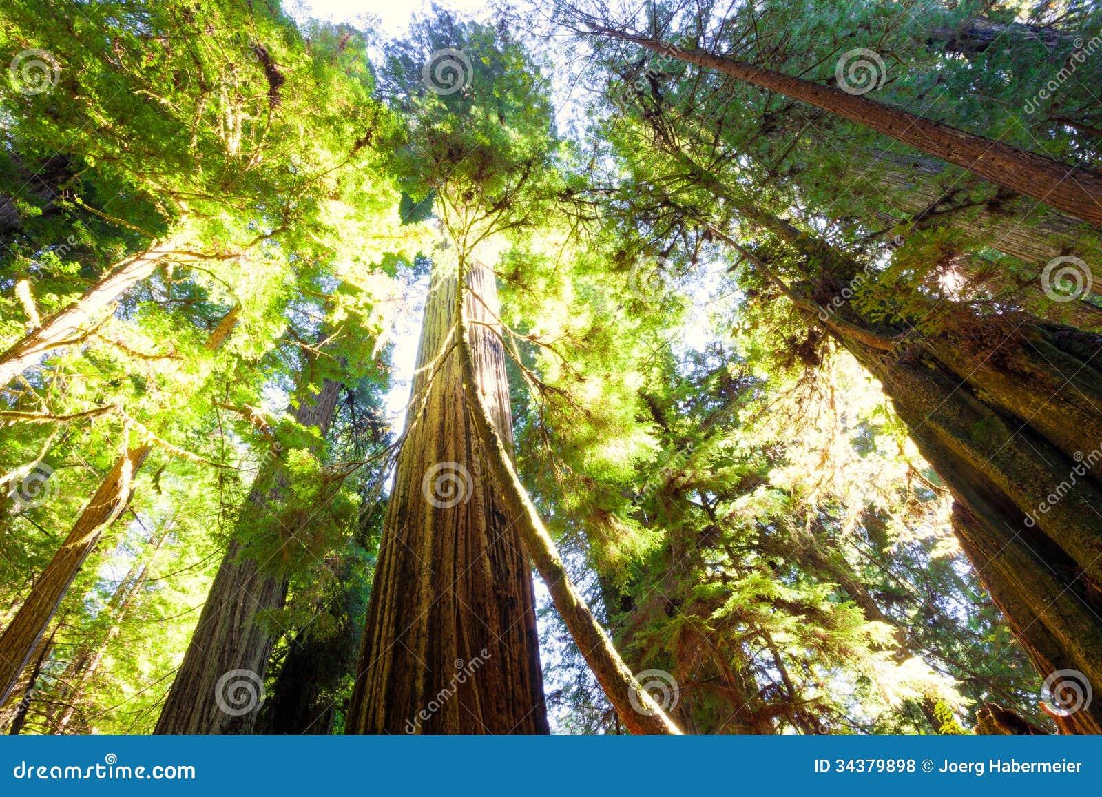 De lange oude bomen van de de groeicalifornische sequoia in zonlicht