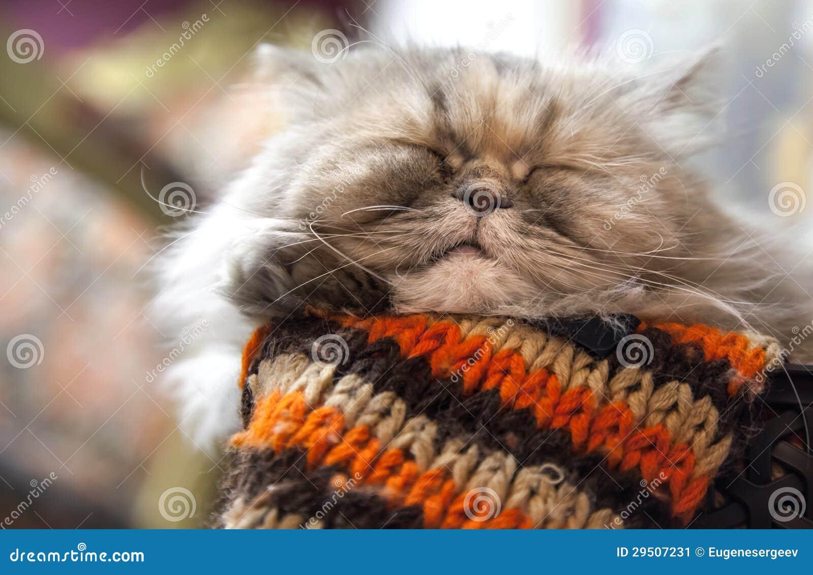 De langharige slaap van de Perzische kat met comfort
