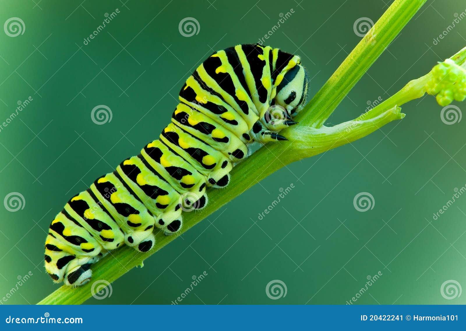 De larve van Swallowtail