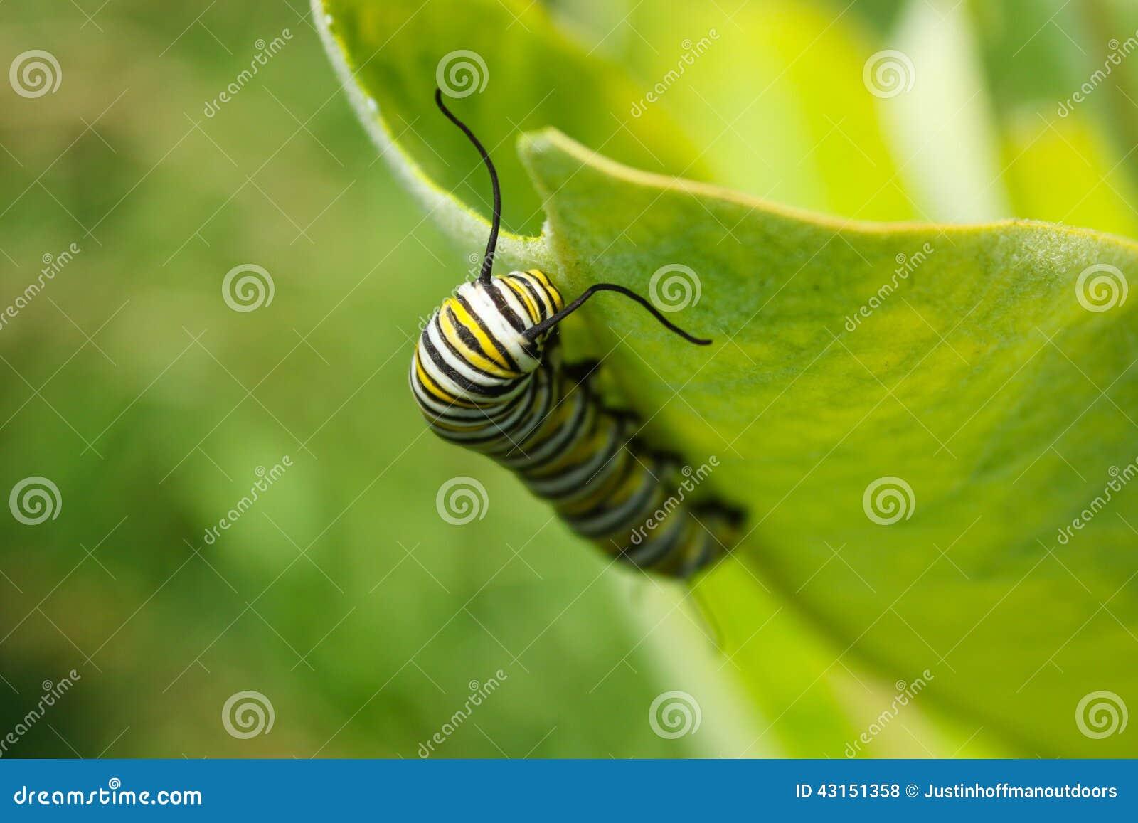 De Larven van Caterpillar van de monarchvlinder