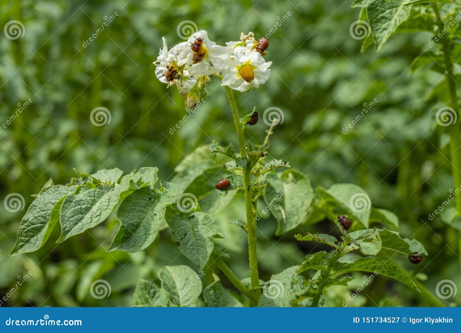 De larven van de coloradokever van Colorado eten de bladeren en de bloemen van de aardappel Bush