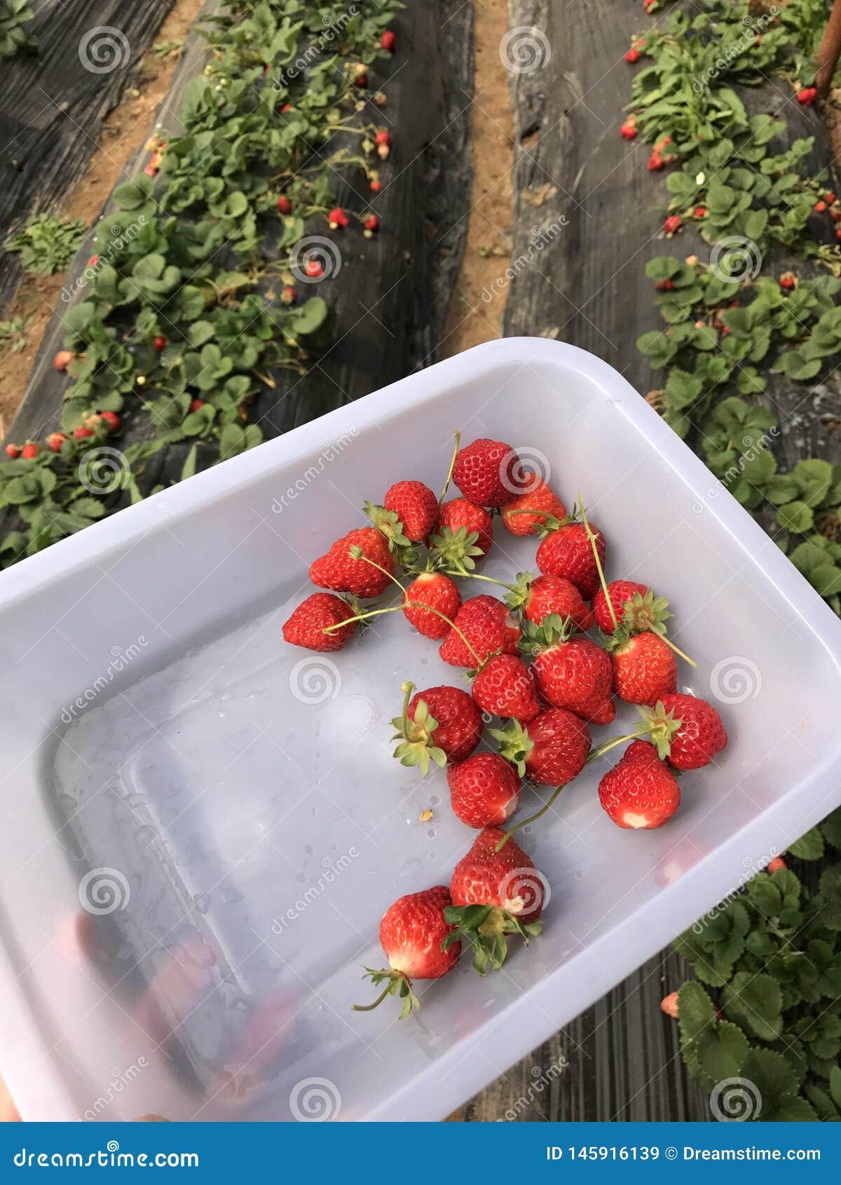 7/5000 de las fresas cosechadas después de lluvia