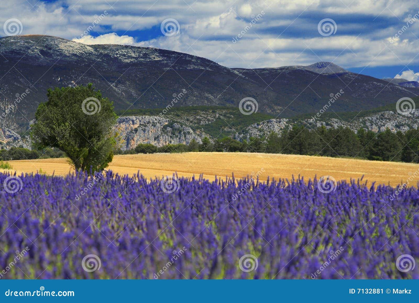 De lavendelgebied van de Provence