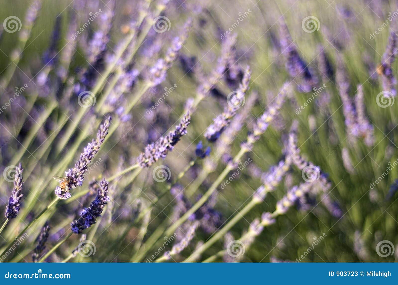 De lavendeltuin & hommel van de zomer