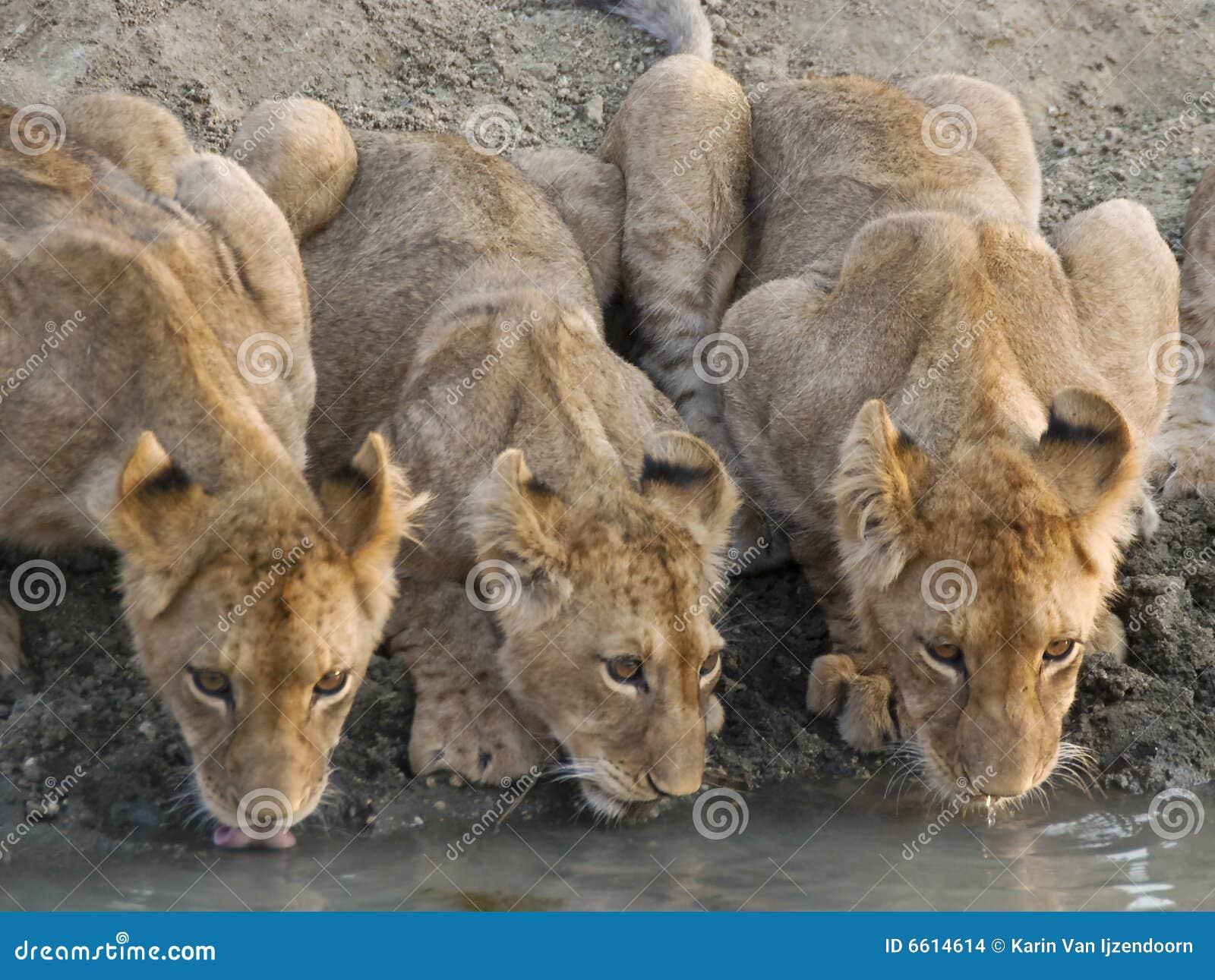 De leeuw werpt drinkwater