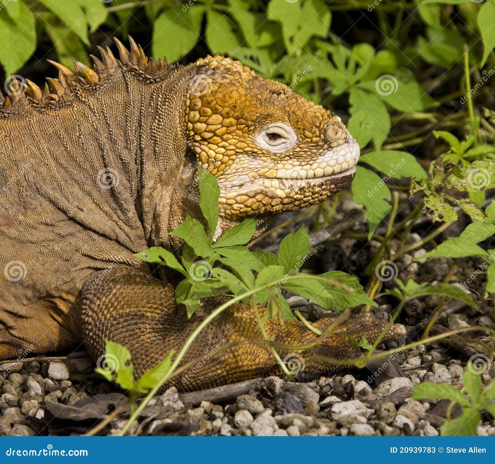 De Leguaan van het land - de Eilanden van de Galapagos - Ecuador