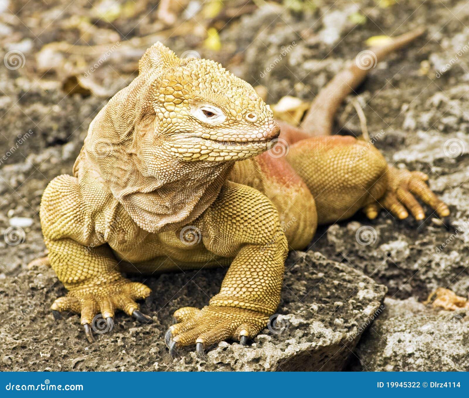 De Leguaan van het Land van de Galapagos