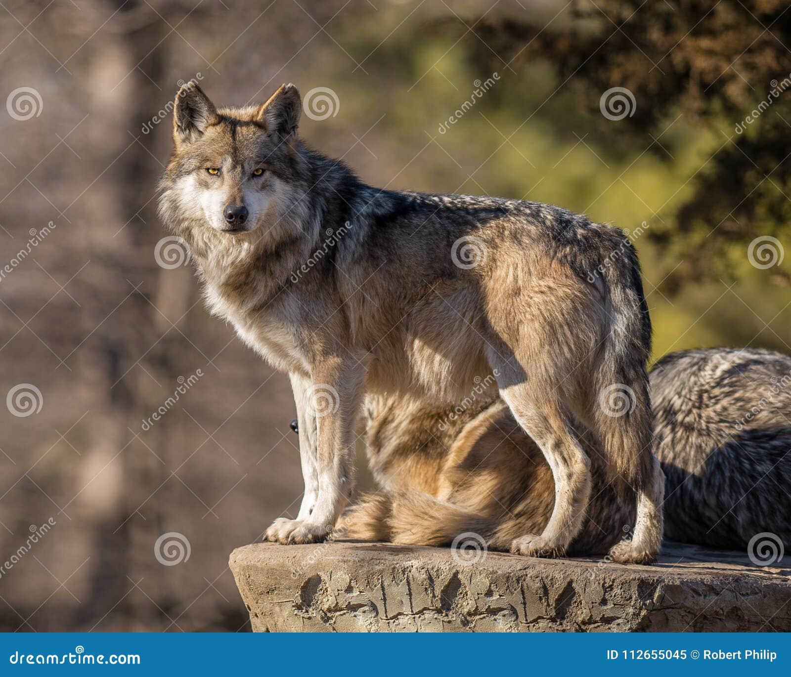De leider van het wolfspak tast de horizon bij Brookfield-Dierentuin af
