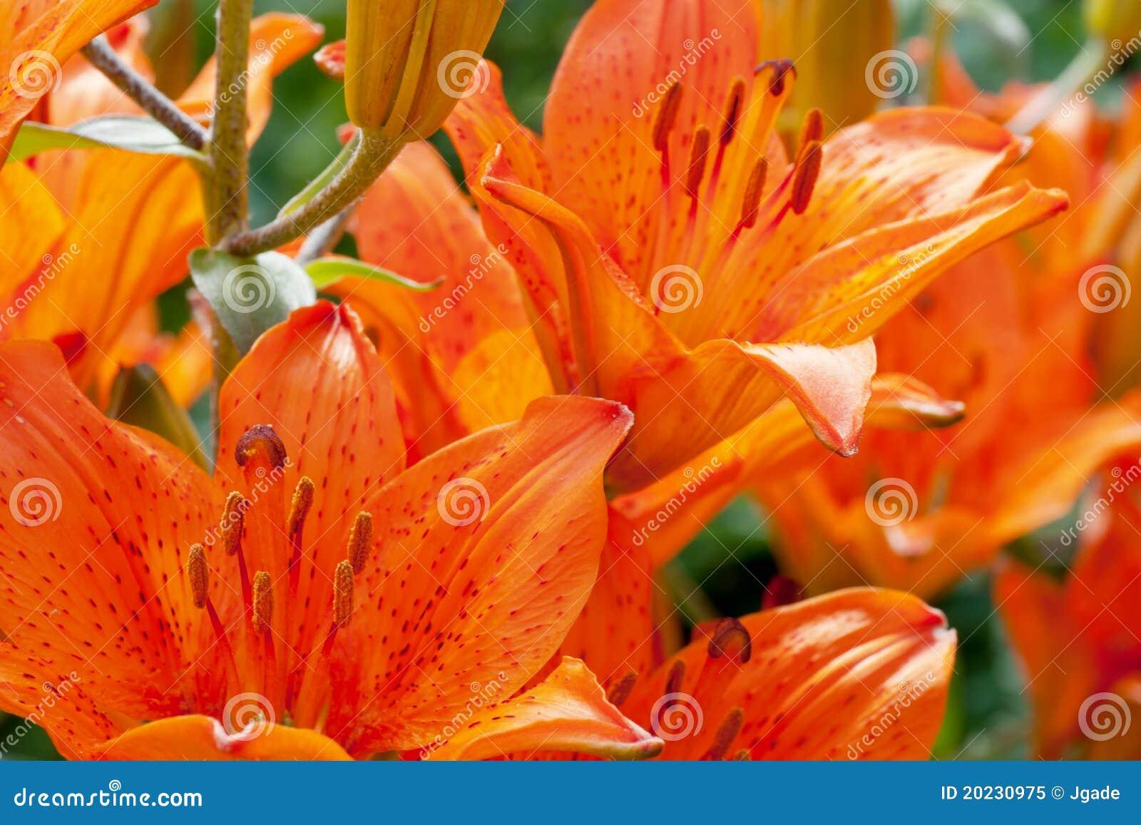 De lelie bloeit dicht omhoog