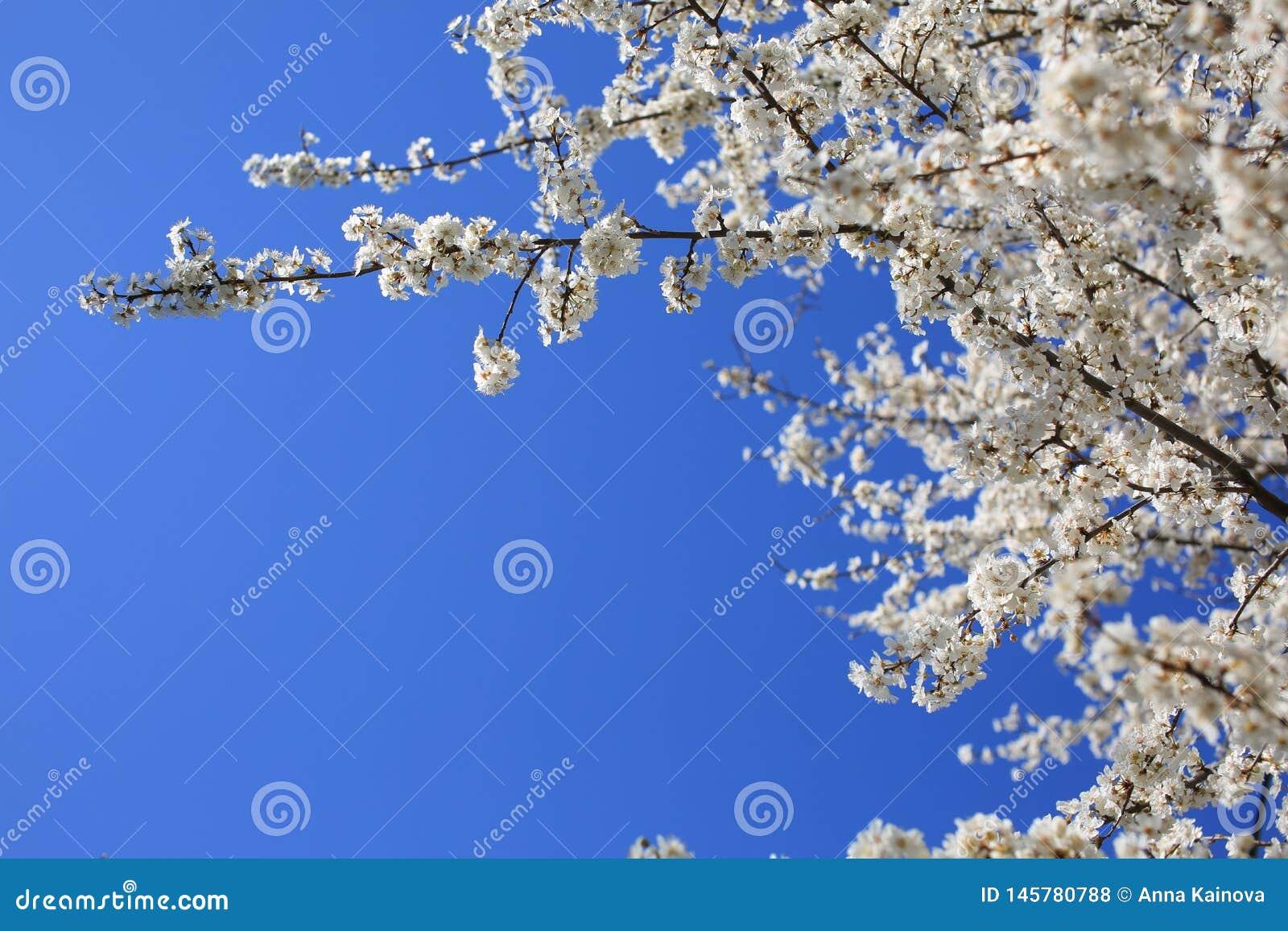 De lente bloeiende boom