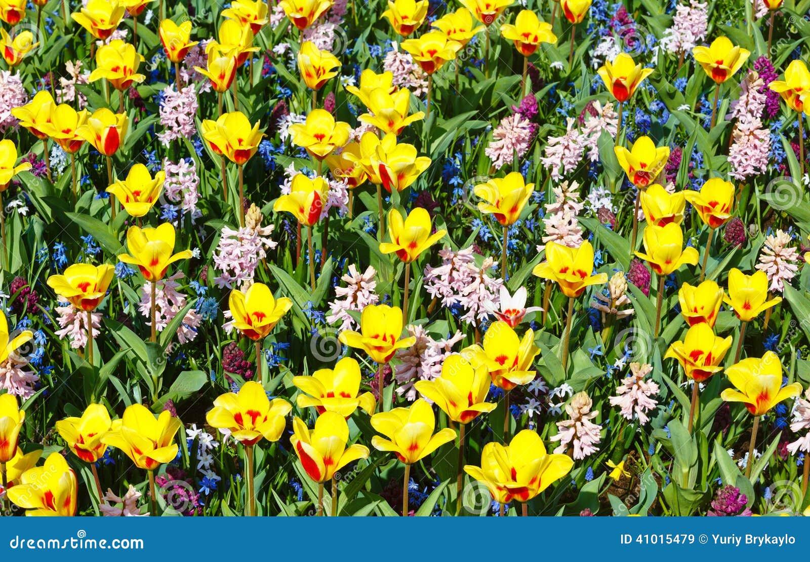 De Lente Geel rode Tulpen En Roze Hyacinten (achtergrond) Stock Foto   Afbeelding  41015479